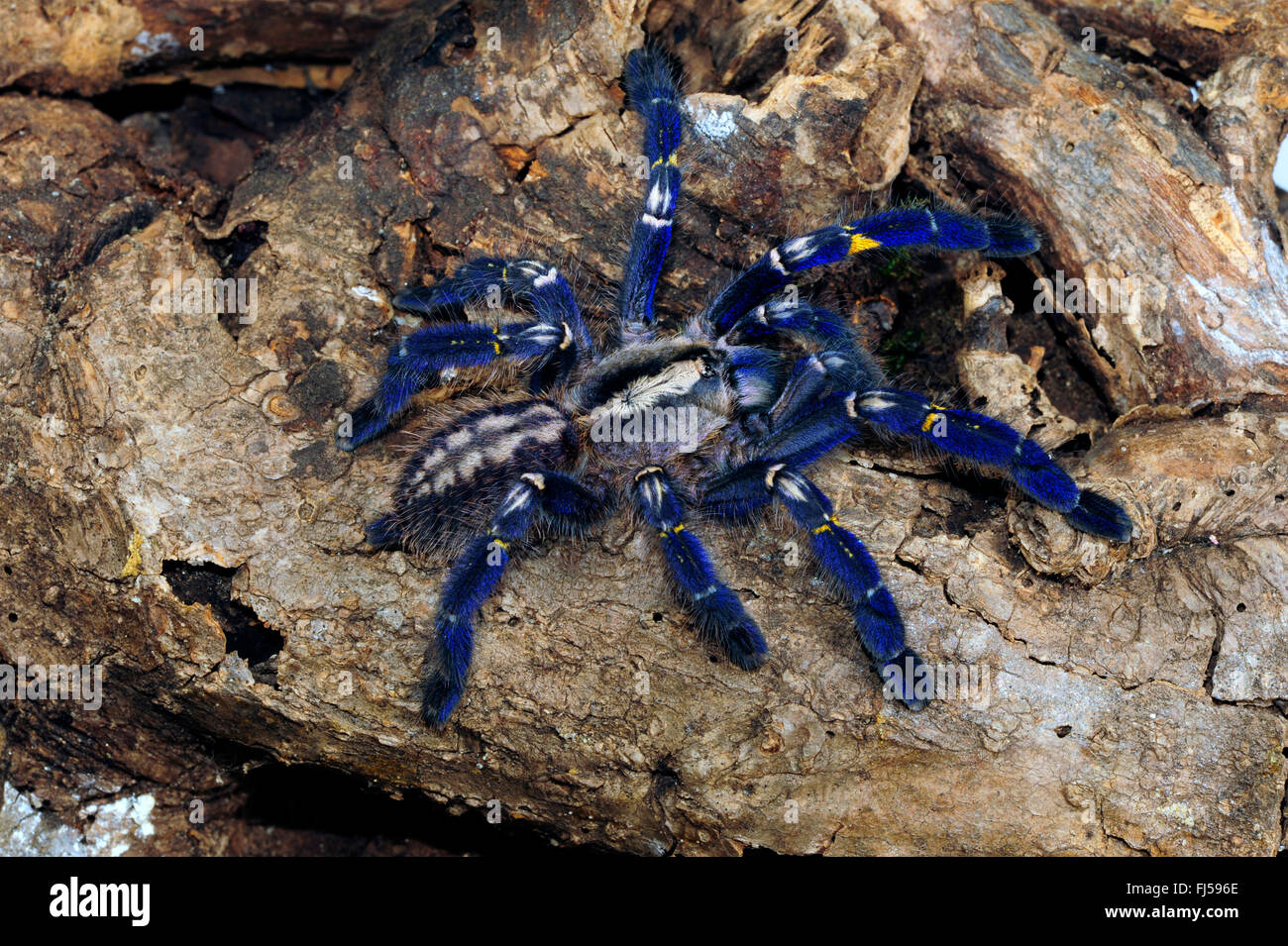 Gooty sapphire ornamental tree spider, Gooty sapphire, Gooty