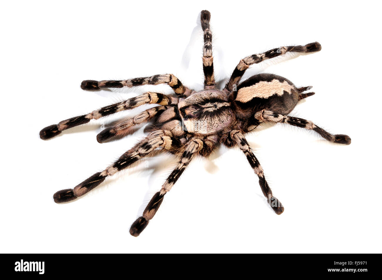 Pedersen's Ornamental (Poecilotheria pederseni), cut-out, Sri Lanka - Stock Image