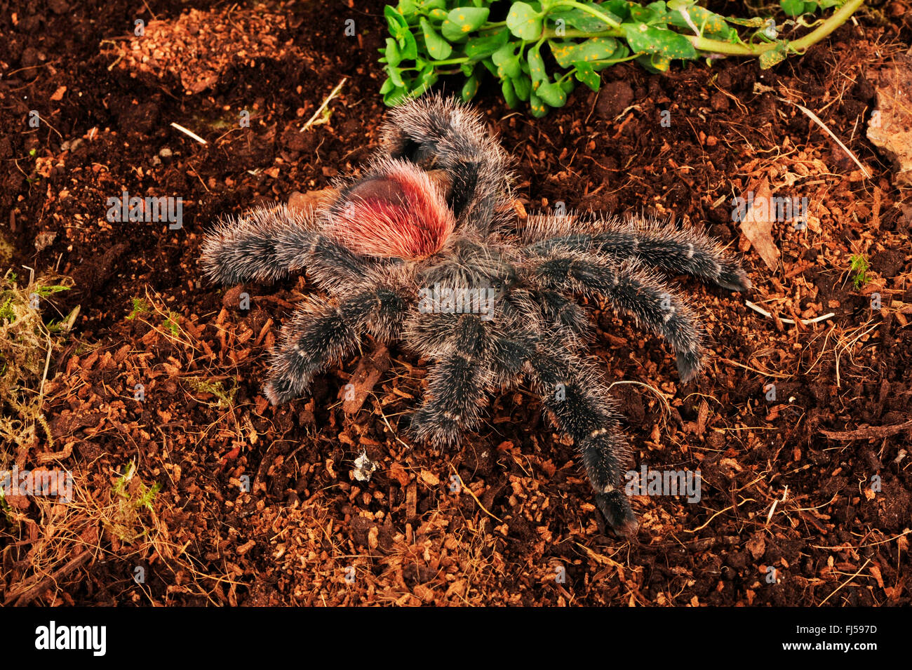 Bird spider (Avicularia spec.), on the ground, Brazil, Amazon region, Manaos - Stock Image