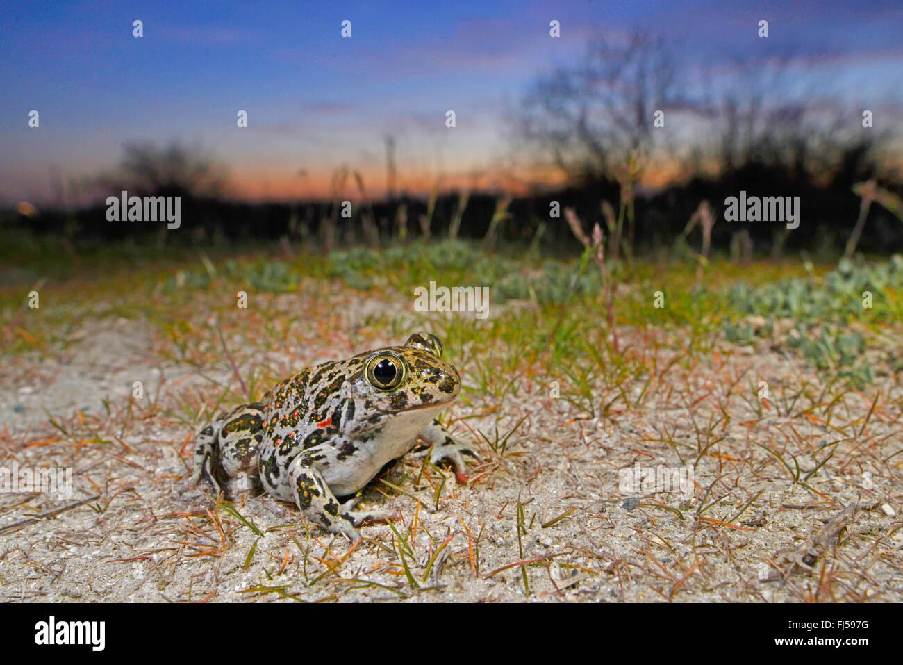 Eastern European spadefoot, Syrian spadefoot (Pelobates syriacus), Syrian spadefoot lurking for prey at sunset, Romania, Dobrudscha, Donaudelta, Donau-Delta, Vadu Stock Photo