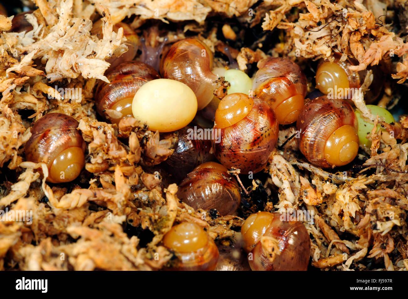 slippery moss snails, pillar snails (Achatia spec.), egg and newly hatched slippery moss snails, South Africa - Stock Image