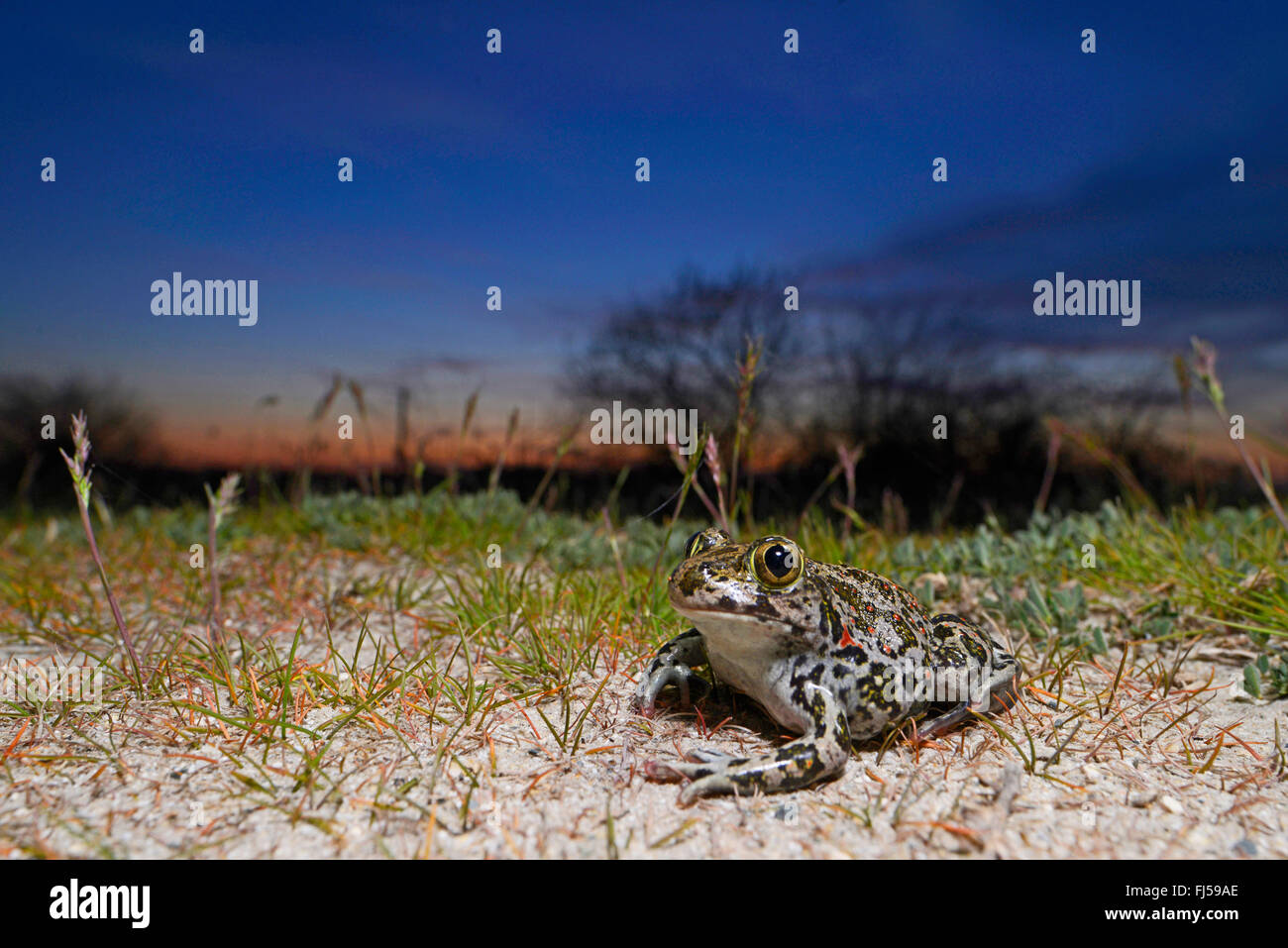 Eastern European spadefoot, Syrian spadefoot (Pelobates syriacus), Syrian spadefoot lurking for prey at sunset, Stock Photo