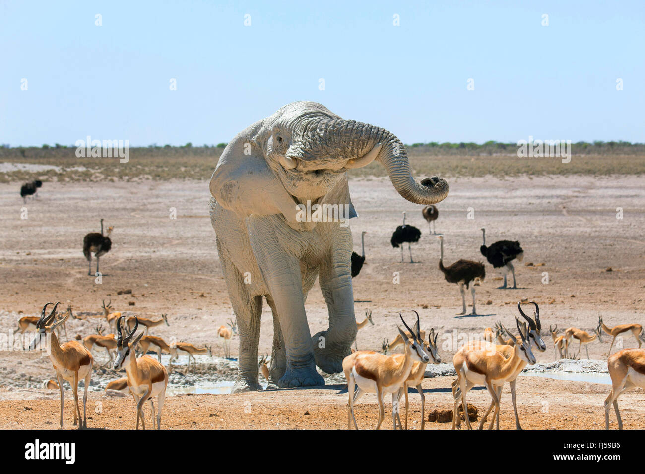 African elephant (Loxodonta africana), elefant after mud bath in a waterhole with impalas and ostriches, Namibia, Stock Photo