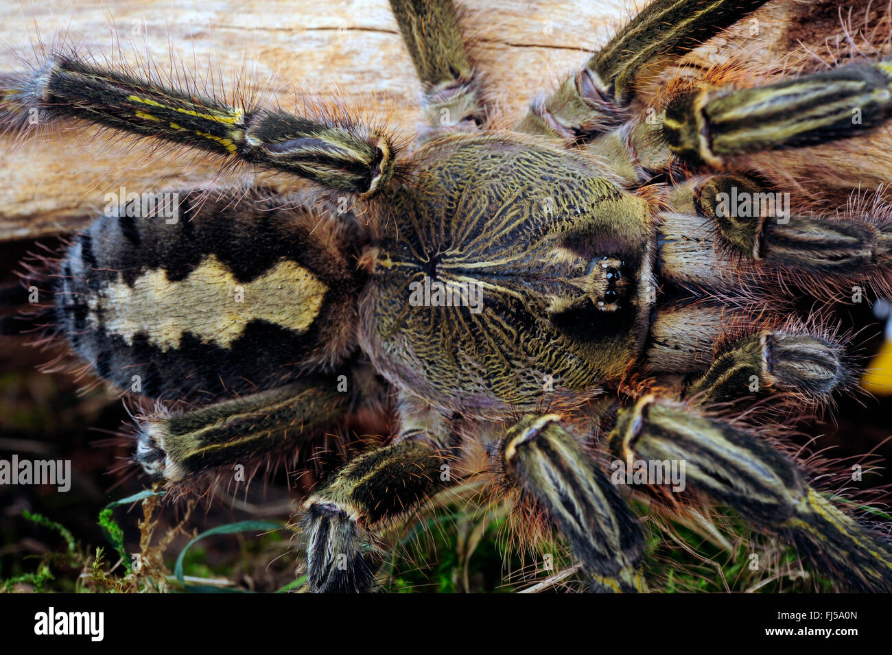 Redslate ornamental tarantula (Poecilotheria rufilata), top view, close-up, India - Stock Image