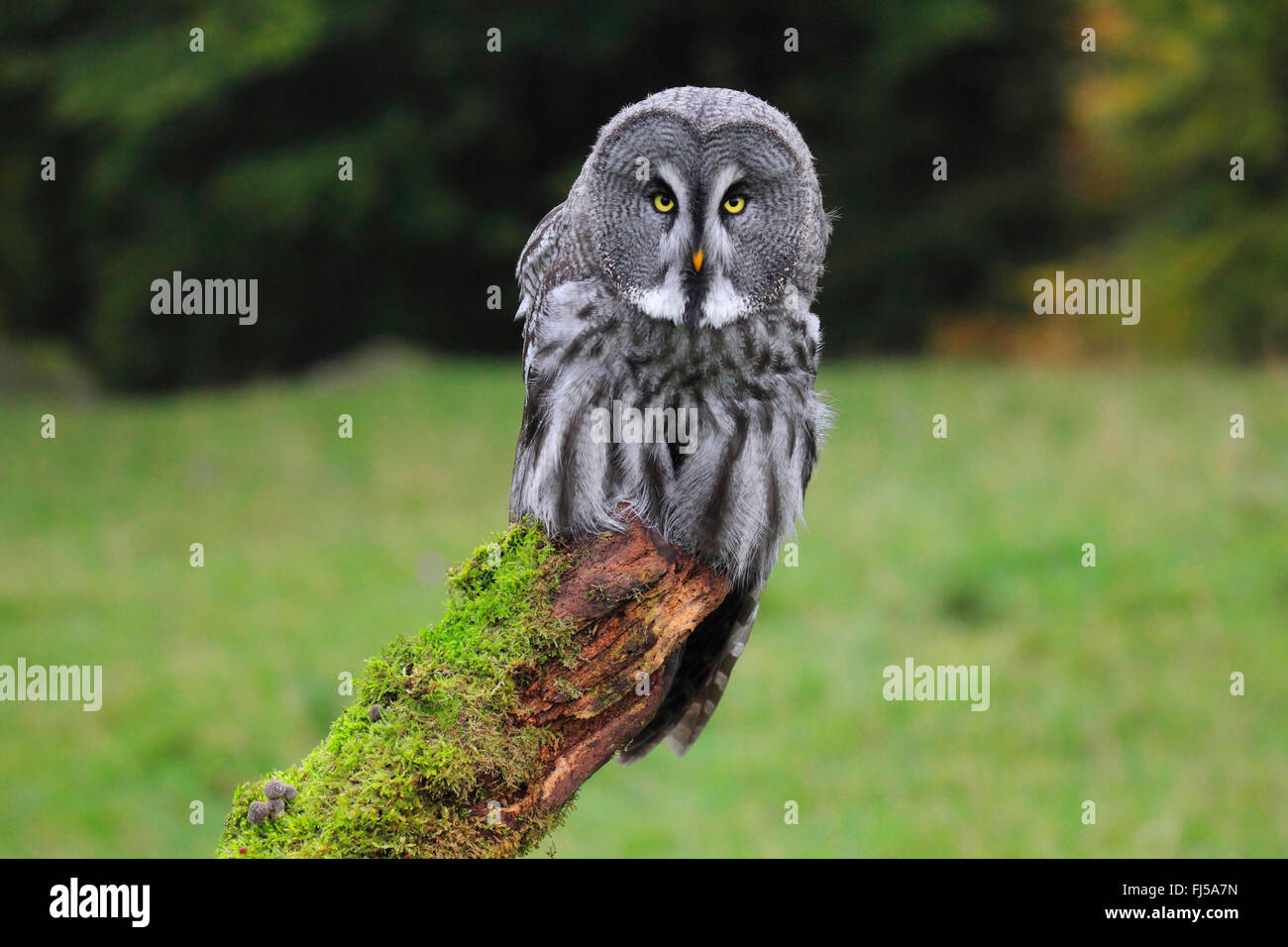 great grey owl (Strix nebulosa), sitting on a mossy lookout - Stock Image