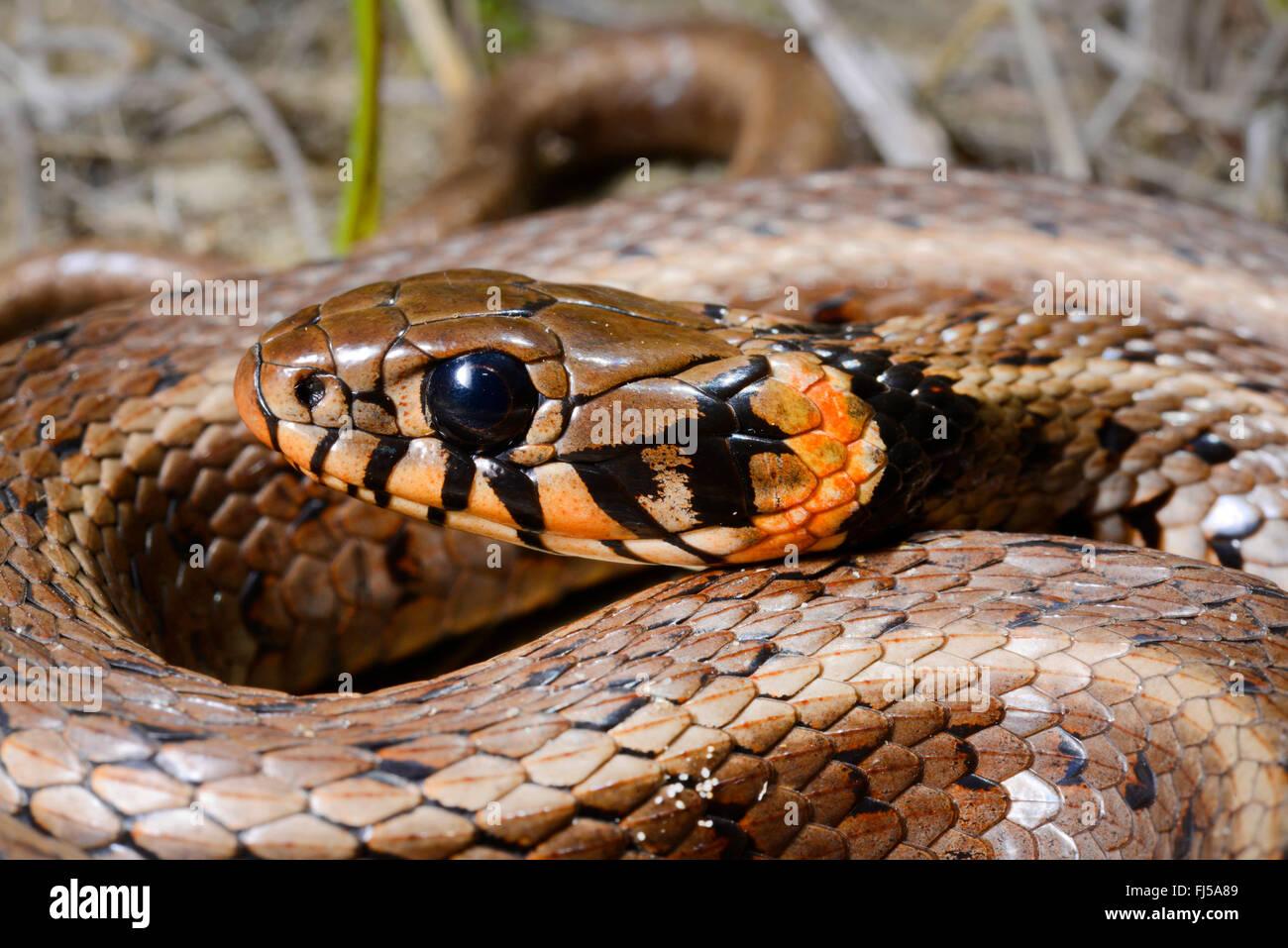 grass snake (Natrix natrix), portrait of a grass snake with orange spots at the collar, Romania, Dobrudscha, Biosphaerenreservat - Stock Image