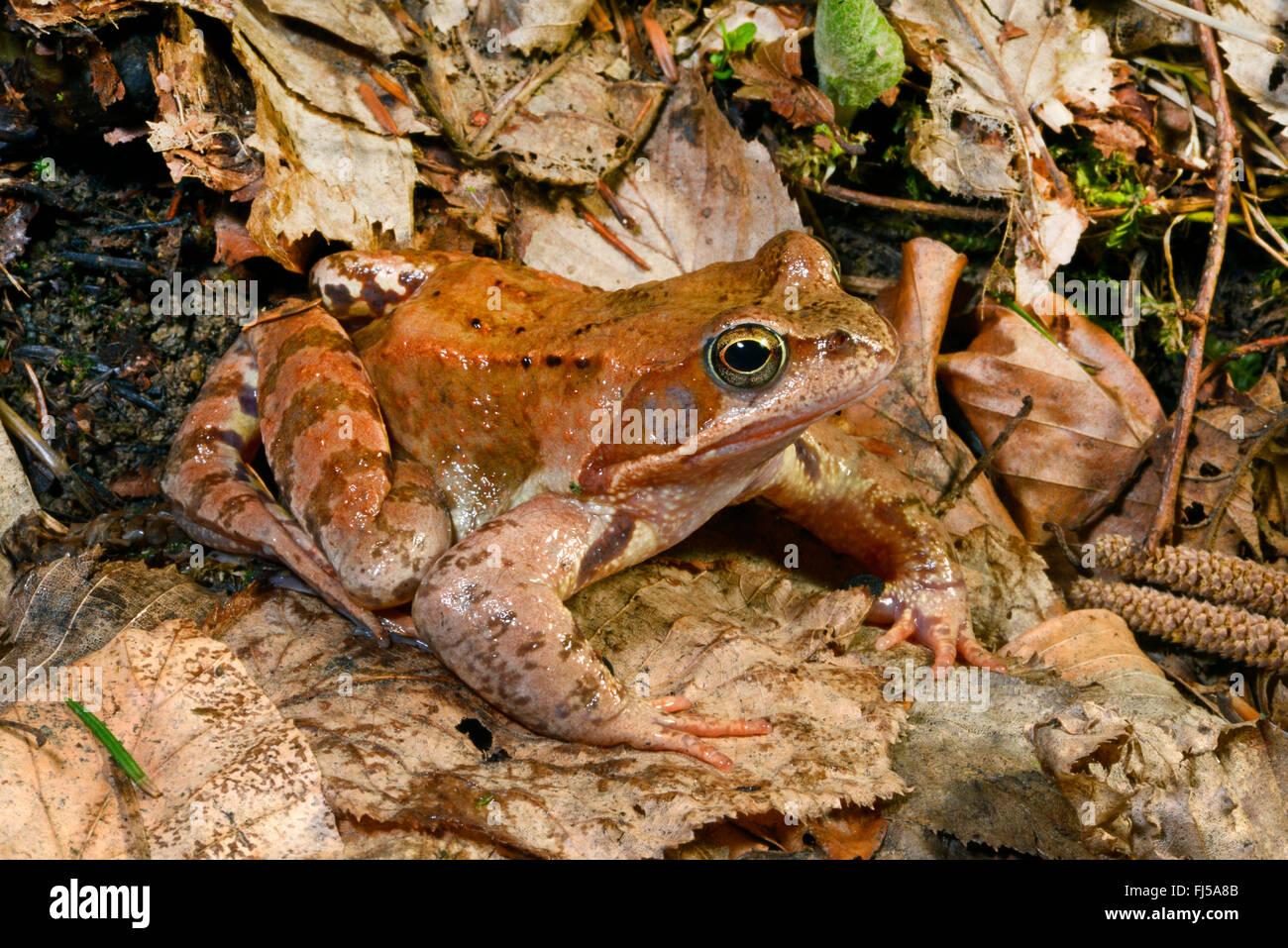 common frog, grass frog (Rana temporaria), on fallen leaves, Romania, Karpaten - Stock Image