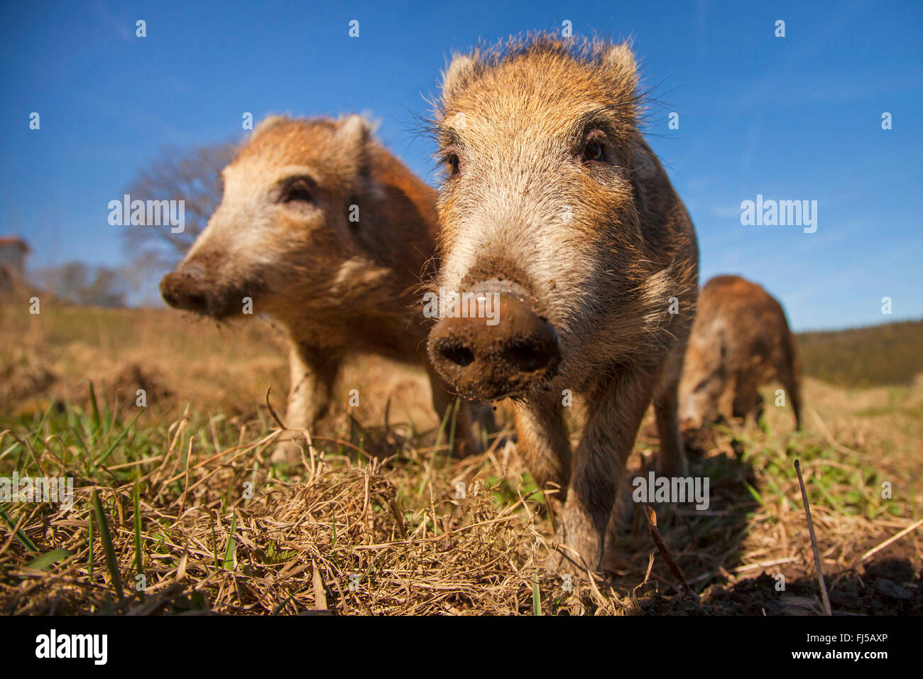 wild boar, pig, wild boar (Sus scrofa), three shotes in a meadow, Germany, Rhineland-Palatinate - Stock Image