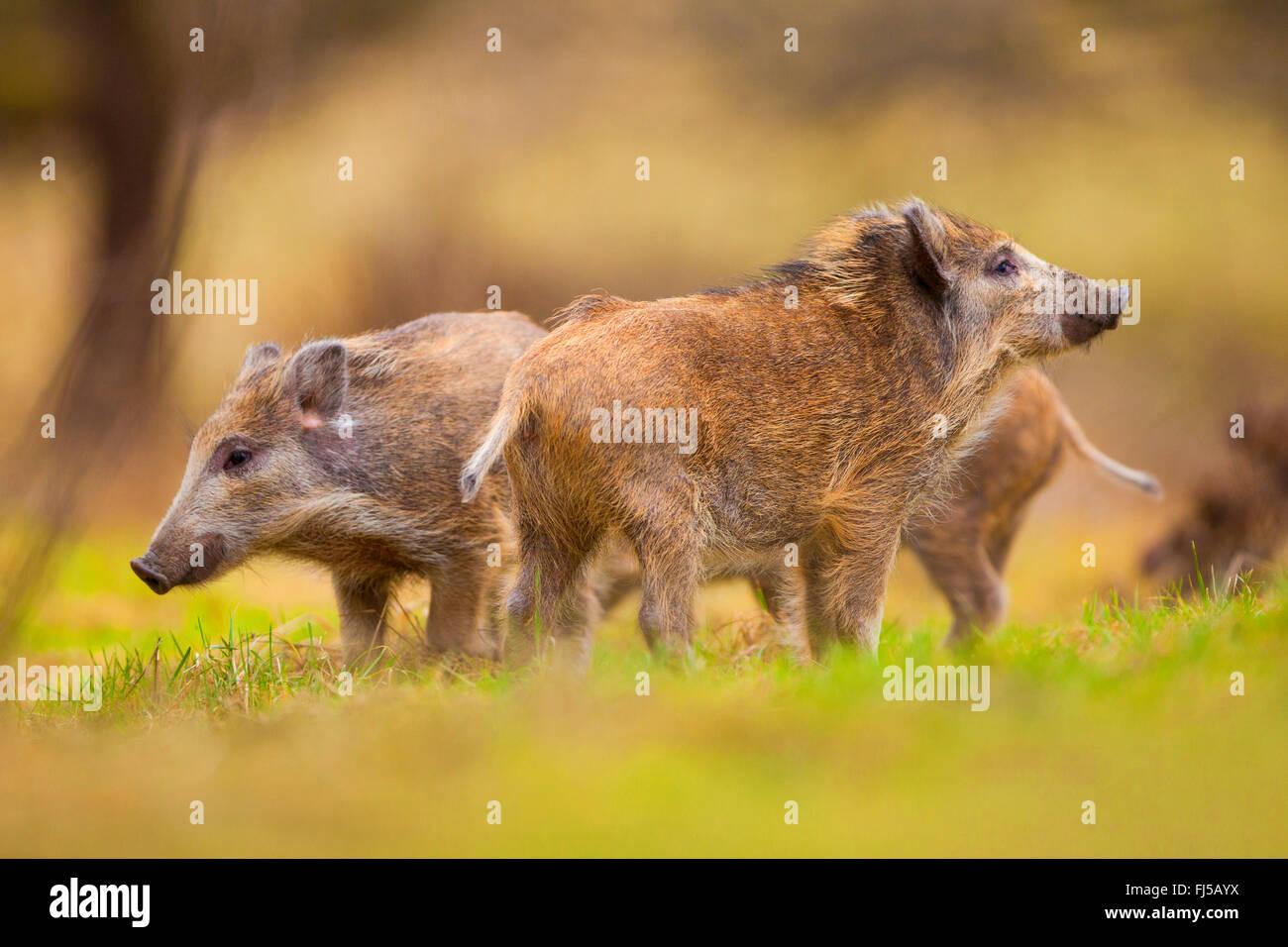 wild boar, pig, wild boar (Sus scrofa), runts, Germany, Rhineland-Palatinate - Stock Image