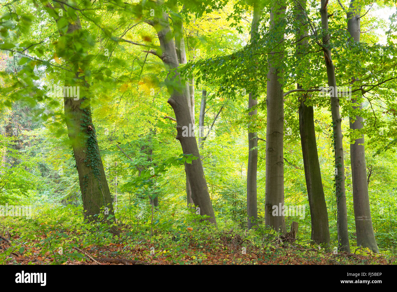beech forest at the Dammer Mountains, Germany, Lower Saxony, Oldenburger Muensterland, Damme - Stock Image