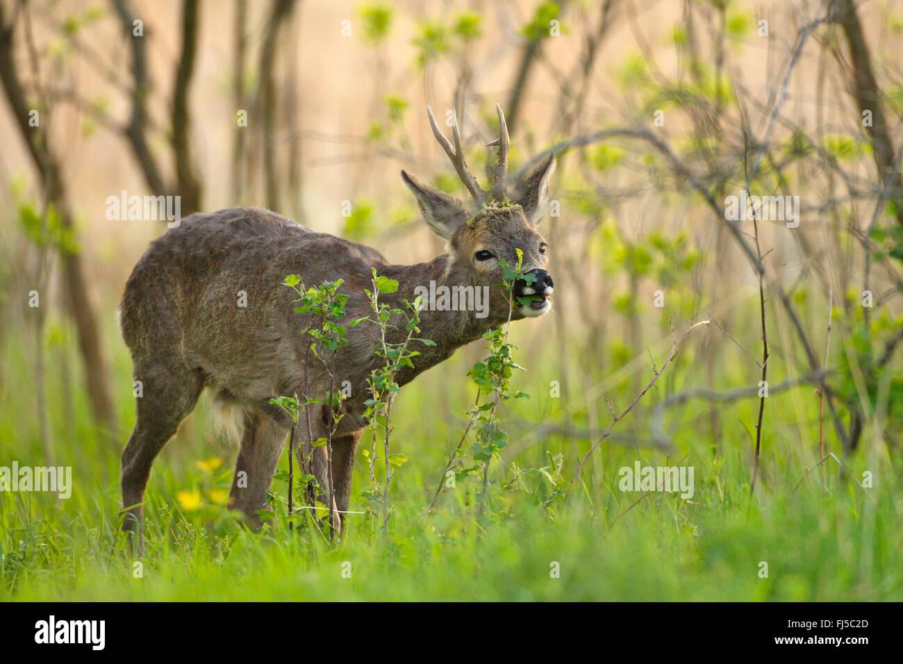 roe deer (Capreolus capreolus), buck browsing, Germany, Brandenburg - Stock Image