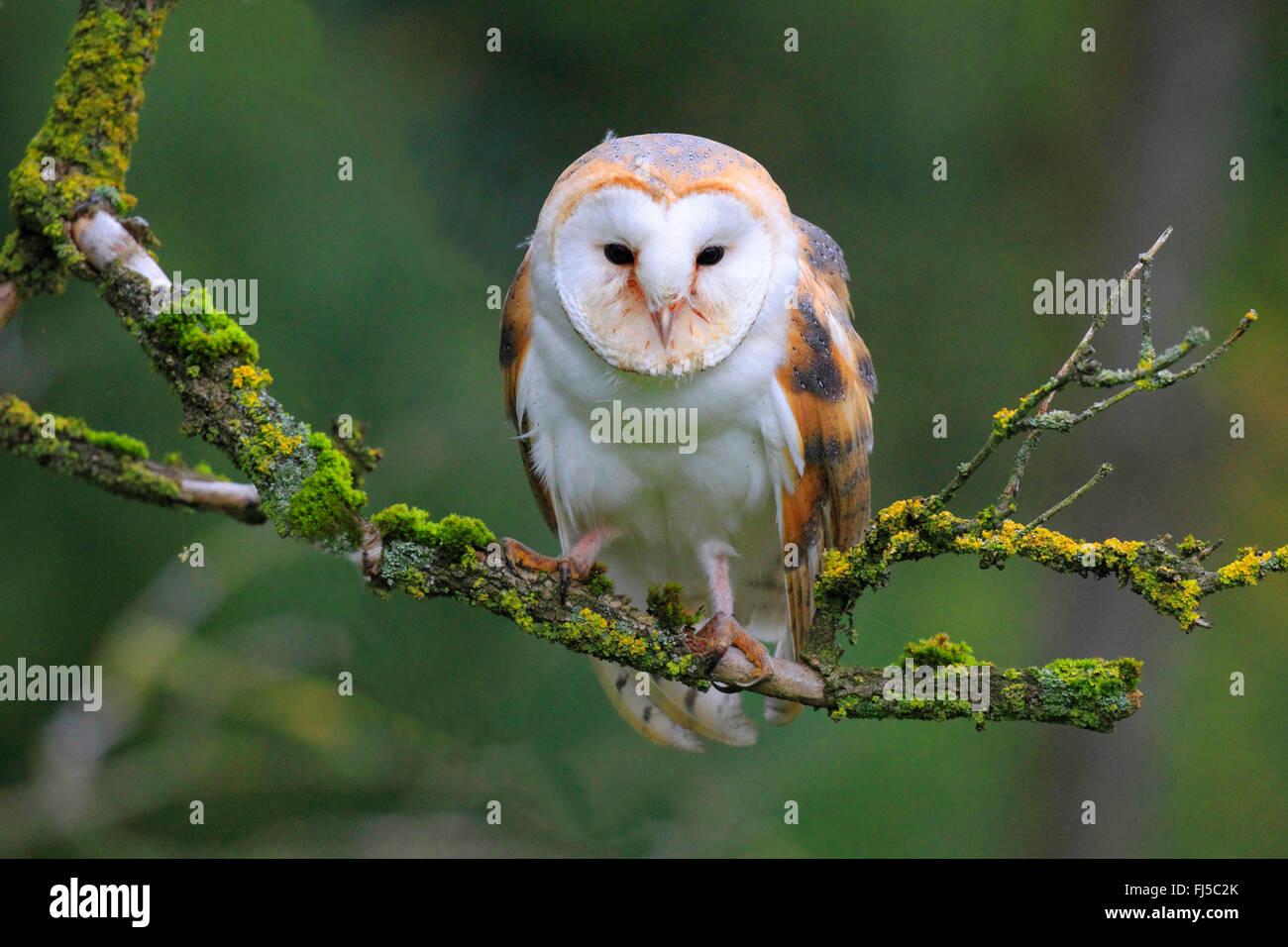Barn owl (Tyto alba), sitting on a branch, Germany - Stock Image