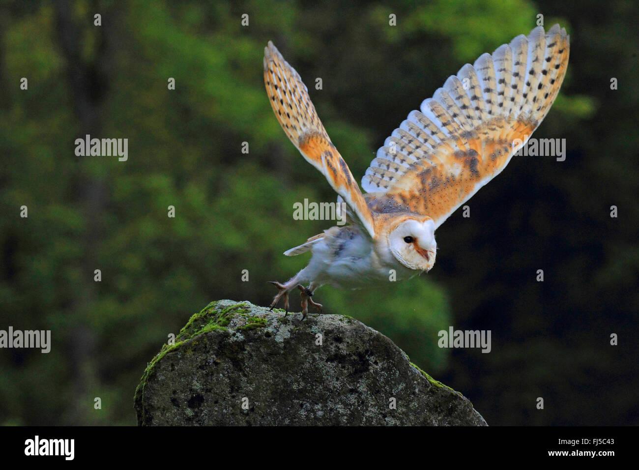 Barn owl (Tyto alba), starting form a rock, Germany - Stock Image