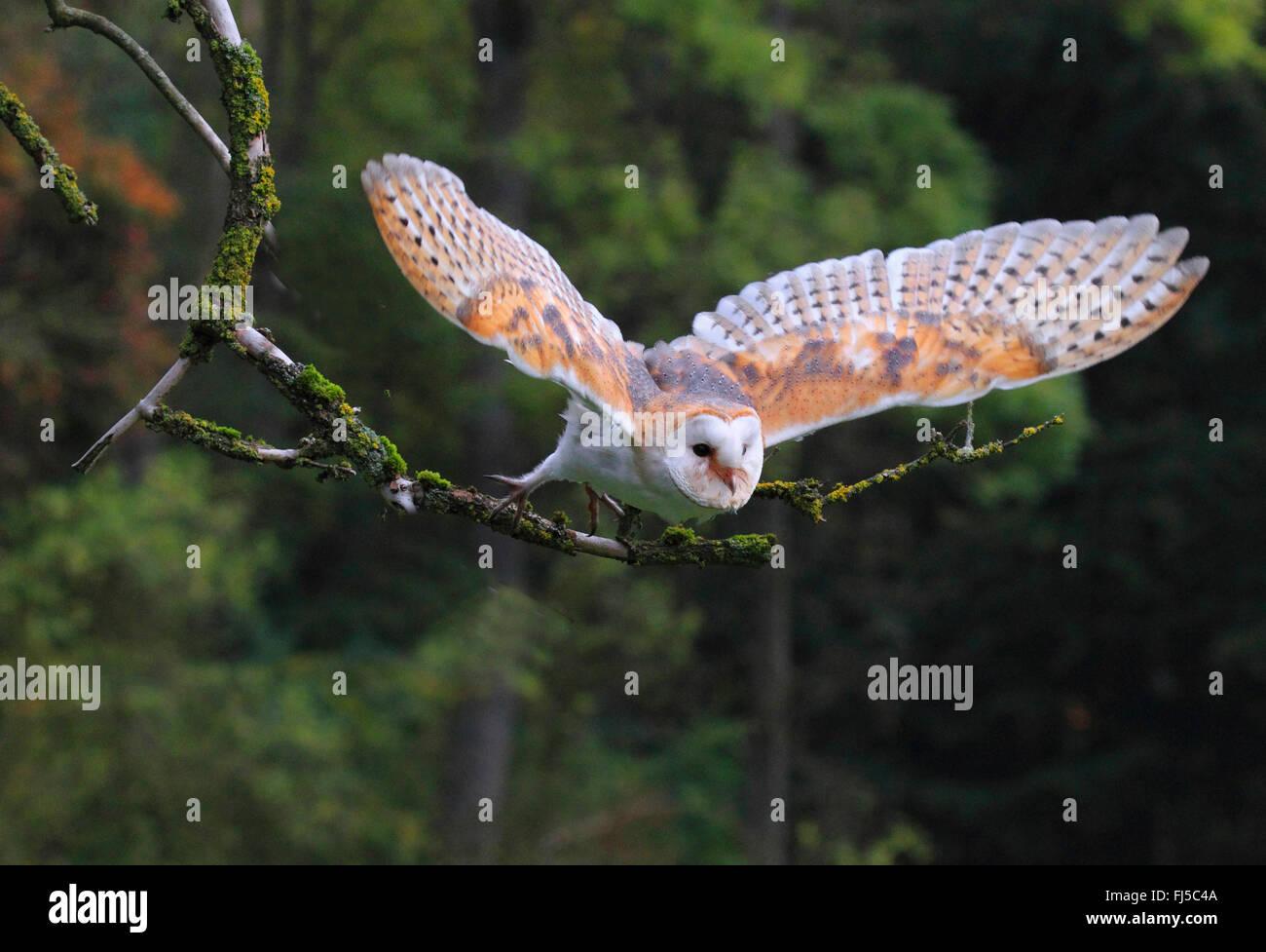 Barn owl (Tyto alba), flying, Germany - Stock Image