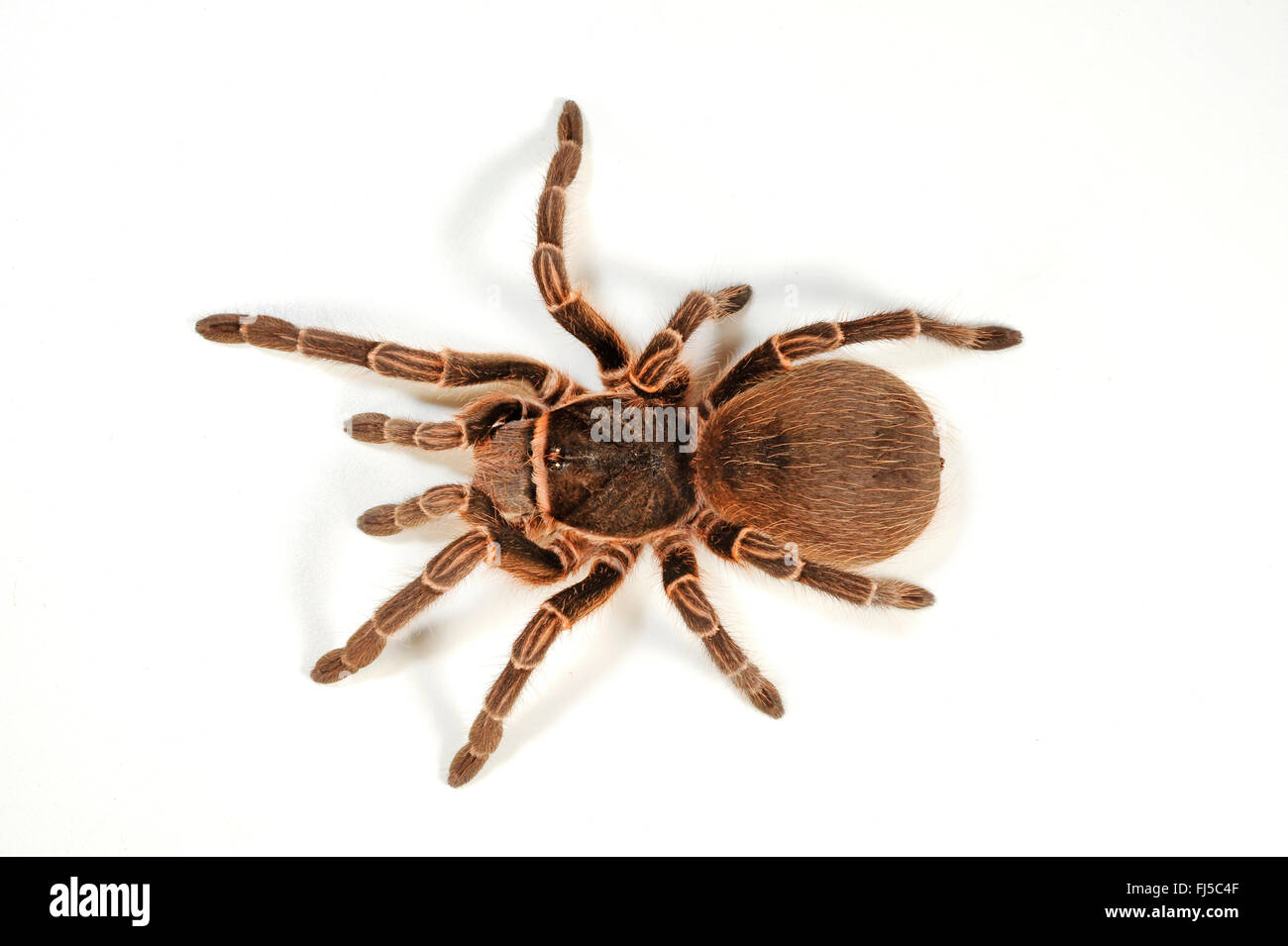 Bird spider (Acanthoscurria cordubensis), cut-out - Stock Image