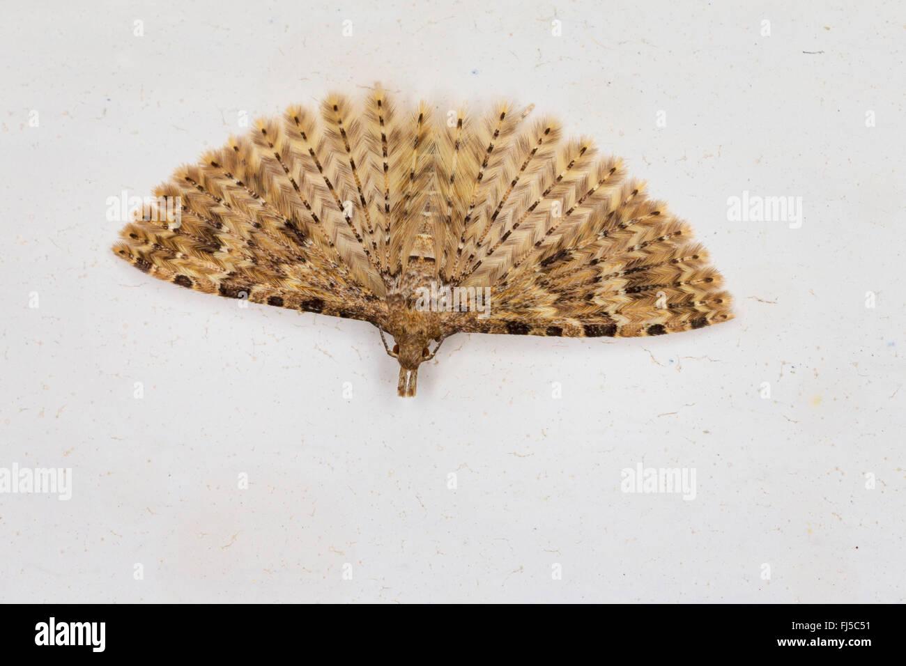 Twenty-plume Moth, Twenty plume moth, Twenty-plumed Moth, Many-plumed moth (Alucita hexadactyla, Alucita polydactyla, - Stock Image