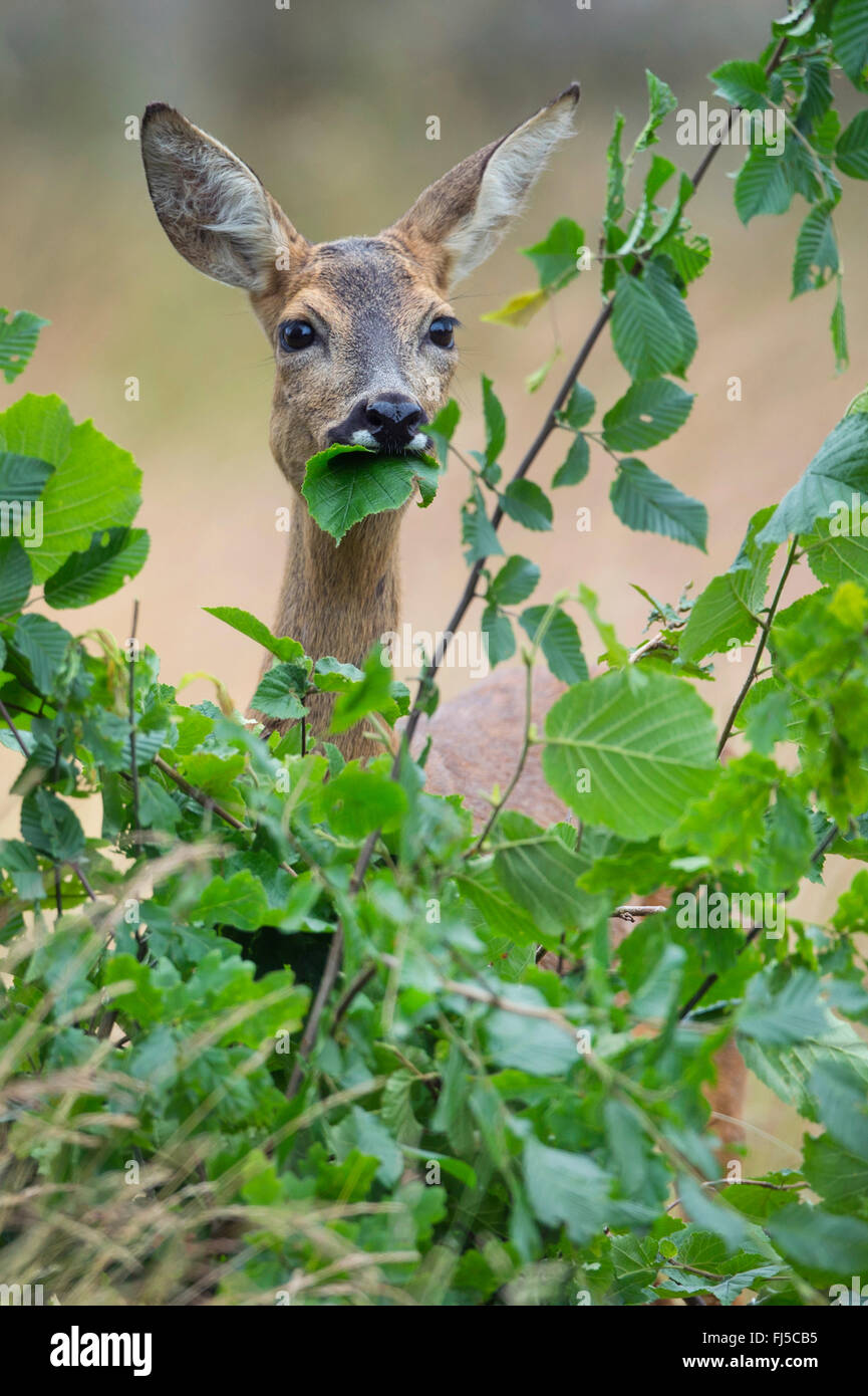 roe deer (Capreolus capreolus), doe feeding, Germany, Lower Saxony - Stock Image