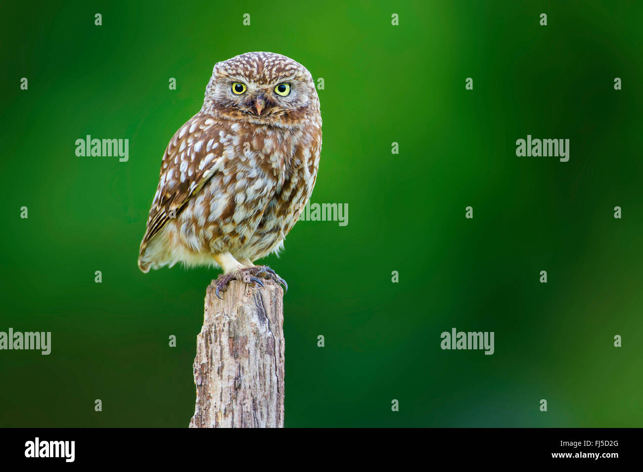 little owl (Athene noctua), sits on a wooden post, Germany - Stock Image
