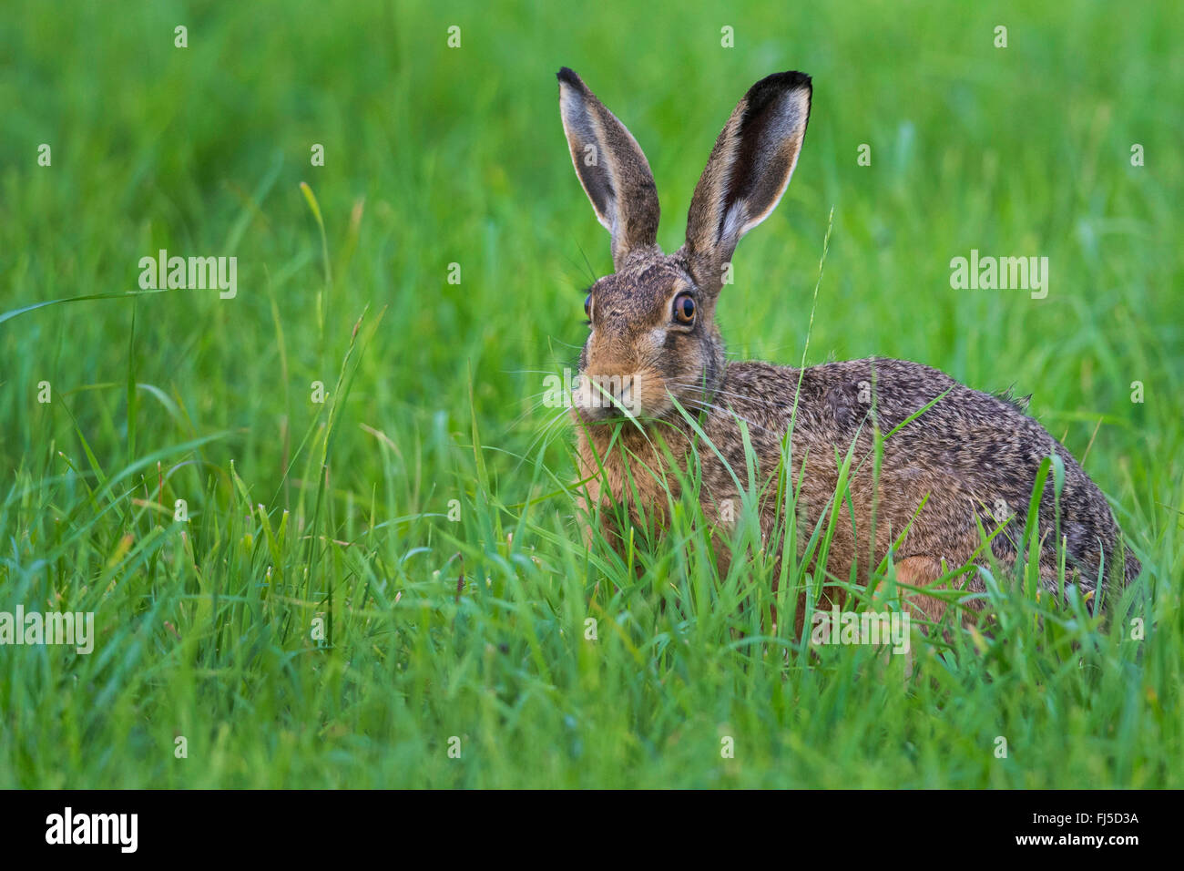 European hare, Brown hare (Lepus europaeus), in a meadow, Germany, Lower Saxony - Stock Image