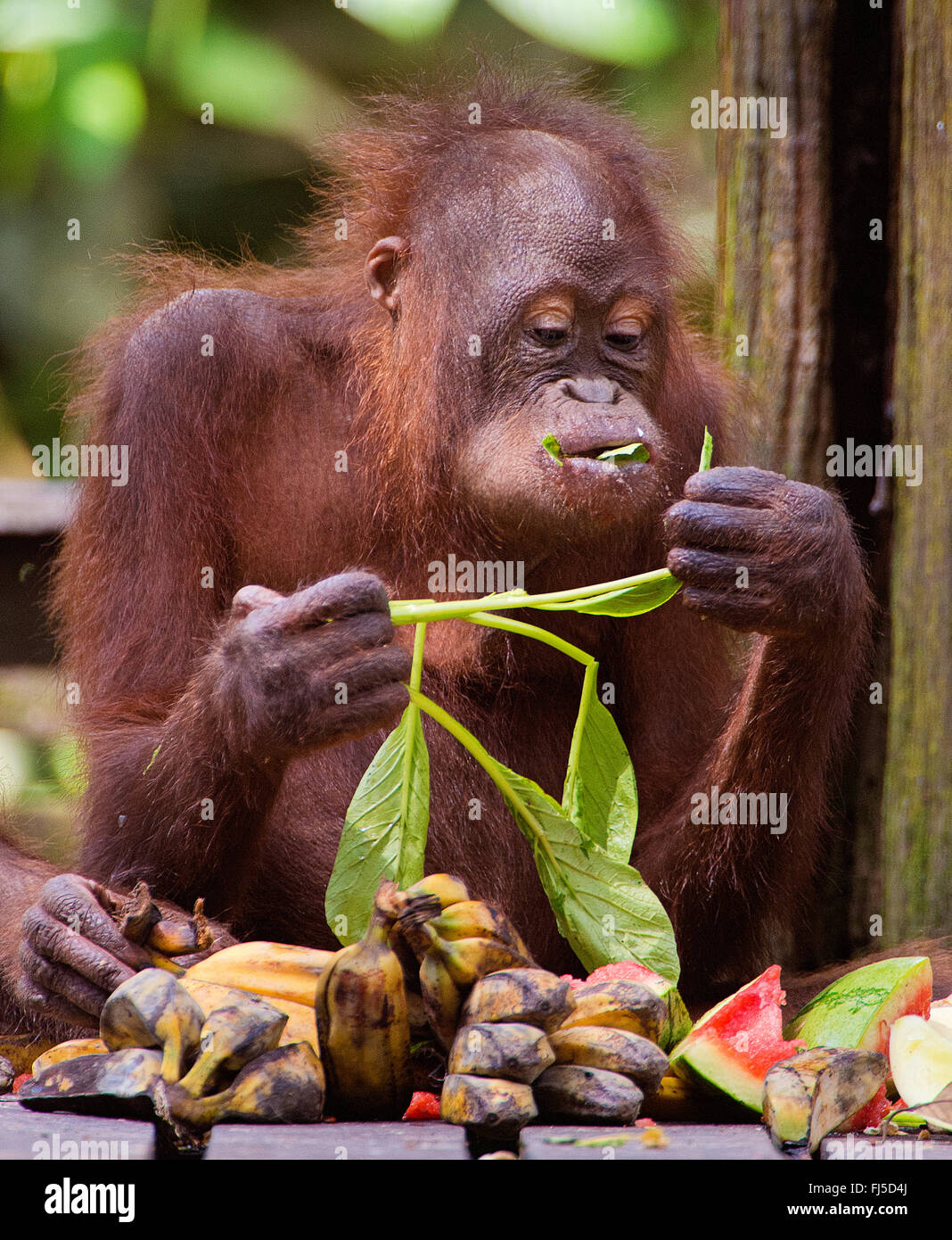 Northeast Bornean orangutan (Pongo pygmaeus morio), Juvenile orangutan feeding , Malaysia, Borneo, Sabah, Sepilok - Stock Image