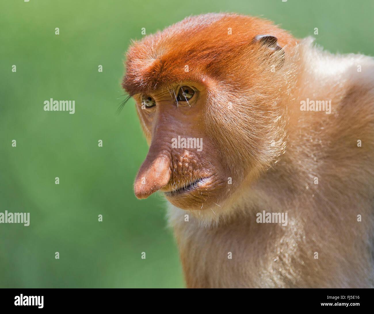 proboscis monkey (Nasalis larvatus), male, Malaysia, Borneo, Sabah - Stock Image