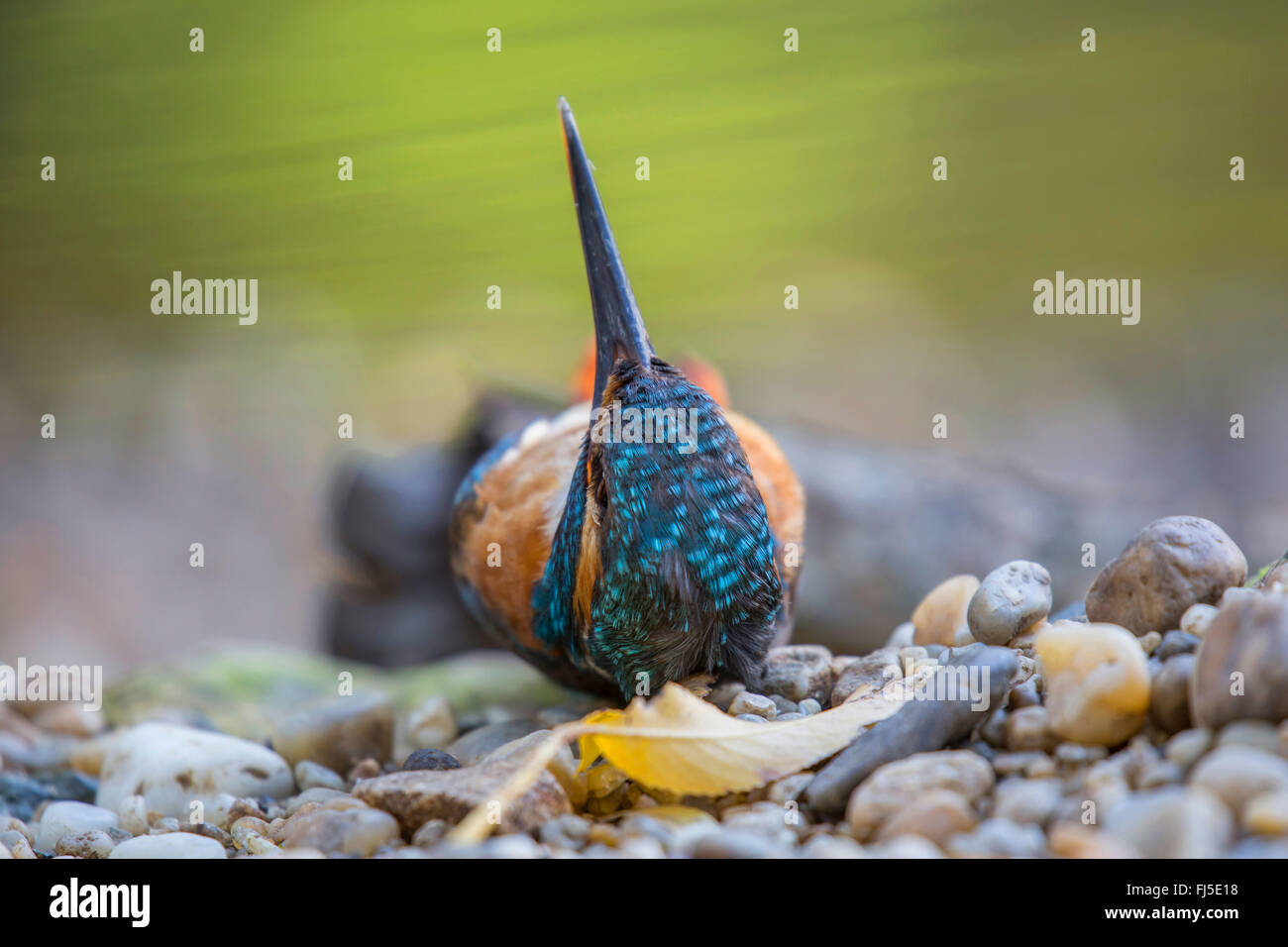 river kingfisher (Alcedo atthis), lying dead at the riverside in the river shingle, Germany, Bavaria, Niederbayern, - Stock Image