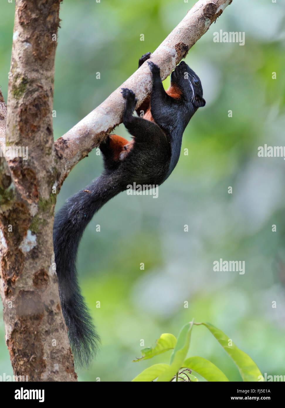Bornean black-banded squirrel (Callosciurus orestes), climbs on a branch, Malaysia, Borneo, Sabah - Stock Image