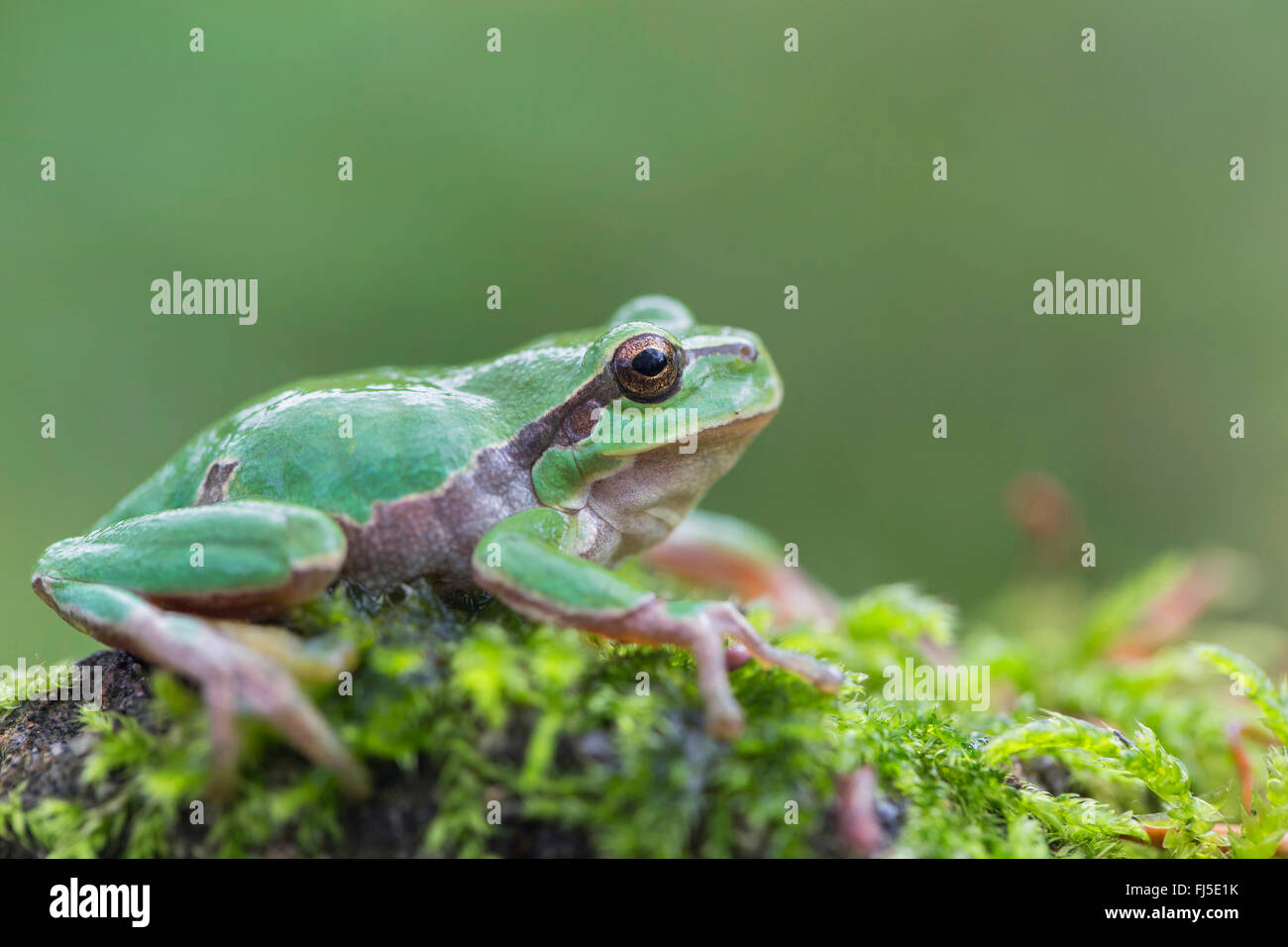 European treefrog, common treefrog, Central European treefrog (Hyla arborea), sitting on a moss cushion, side view, - Stock Image
