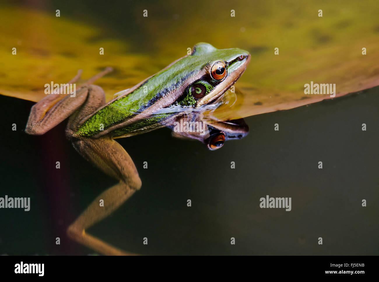 frog (Hylarana megalonesa), climbs onto a floating leaf, Malaysia, Borneo, Sabah - Stock Image