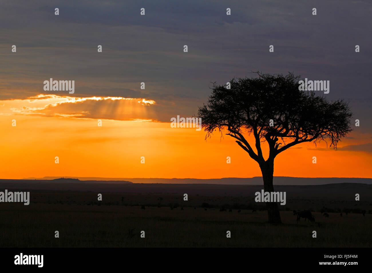 acacia in setting sun at Masai Mara, Kenya, Masai Mara National Park Stock Photo
