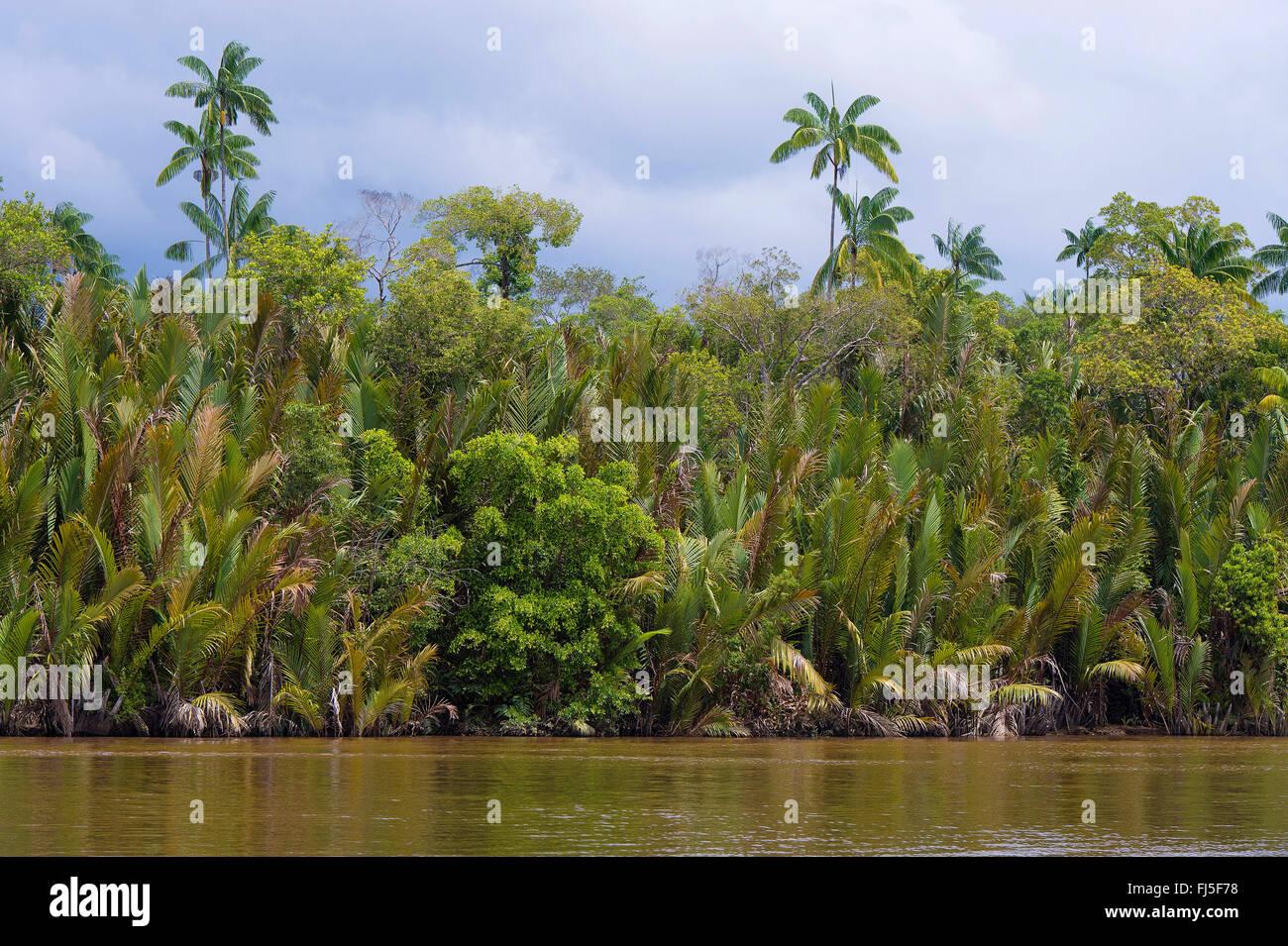 nipa palm (Nypa frutians), Dense and diverse vegetation along the banks of Kinabatangan River, Malaysia, Borneo, - Stock Image