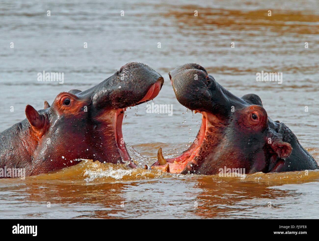 hippopotamus, hippo, Common hippopotamus (Hippopotamus amphibius), fighting hippos in water, Kenya, Masai Mara National - Stock Image