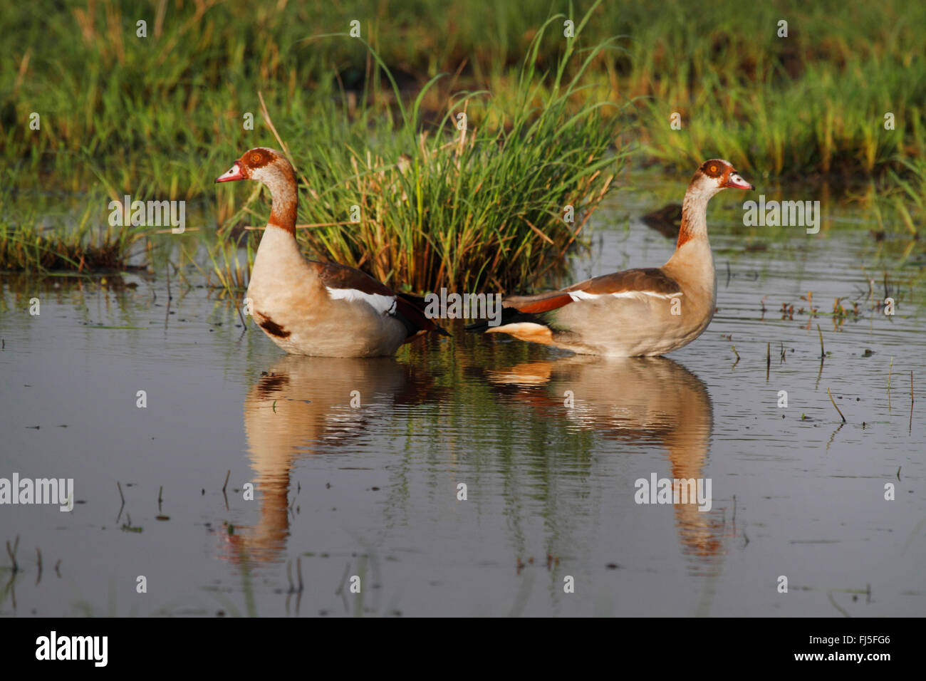 Egyptian goose (Alopochen aegyptiacus), two Egyptian geese stand in shallow water, Kenya, Masai Mara National Park - Stock Image