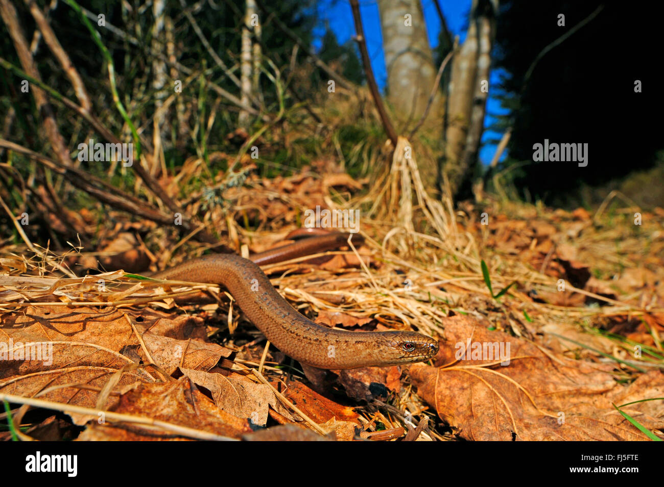 European slow worm, blindworm, slow worm (Anguis fragilis), male slow worm winding through foliage, Germany, Baden Stock Photo