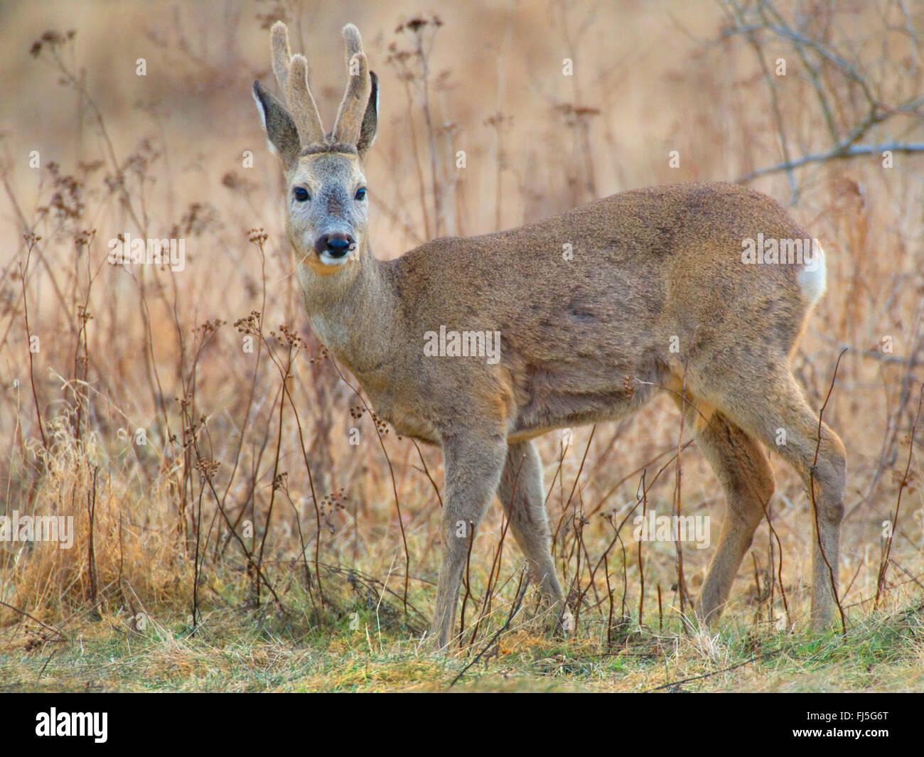 roe deer (Capreolus capreolus), buck in winter, Germany, Brandenburg - Stock Image