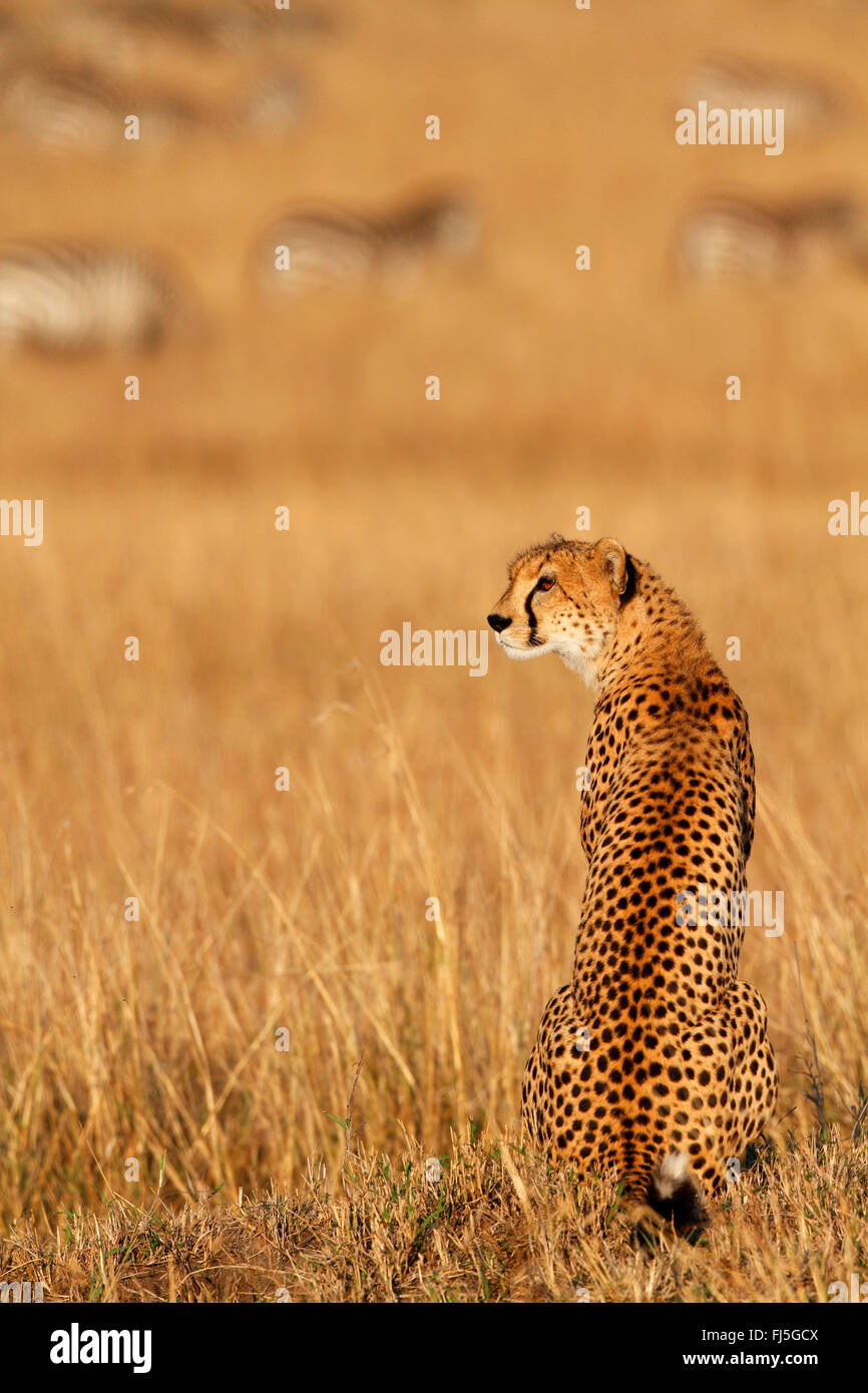 cheetah (Acinonyx jubatus), sits in savanna with grazing zebra herd in the background, Kenya, Masai Mara National Stock Photo