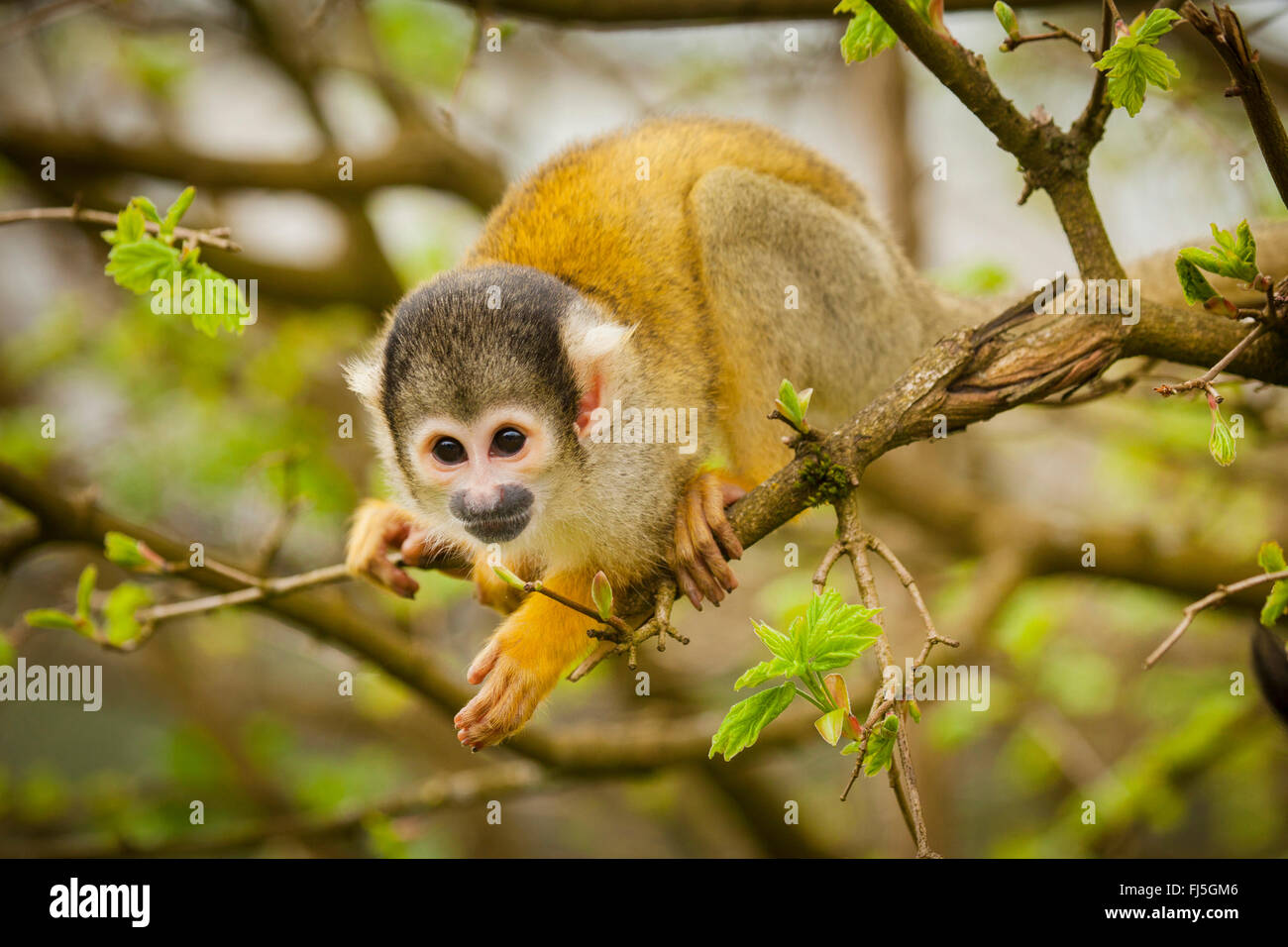 Squirrel monkeys in trees - photo#34