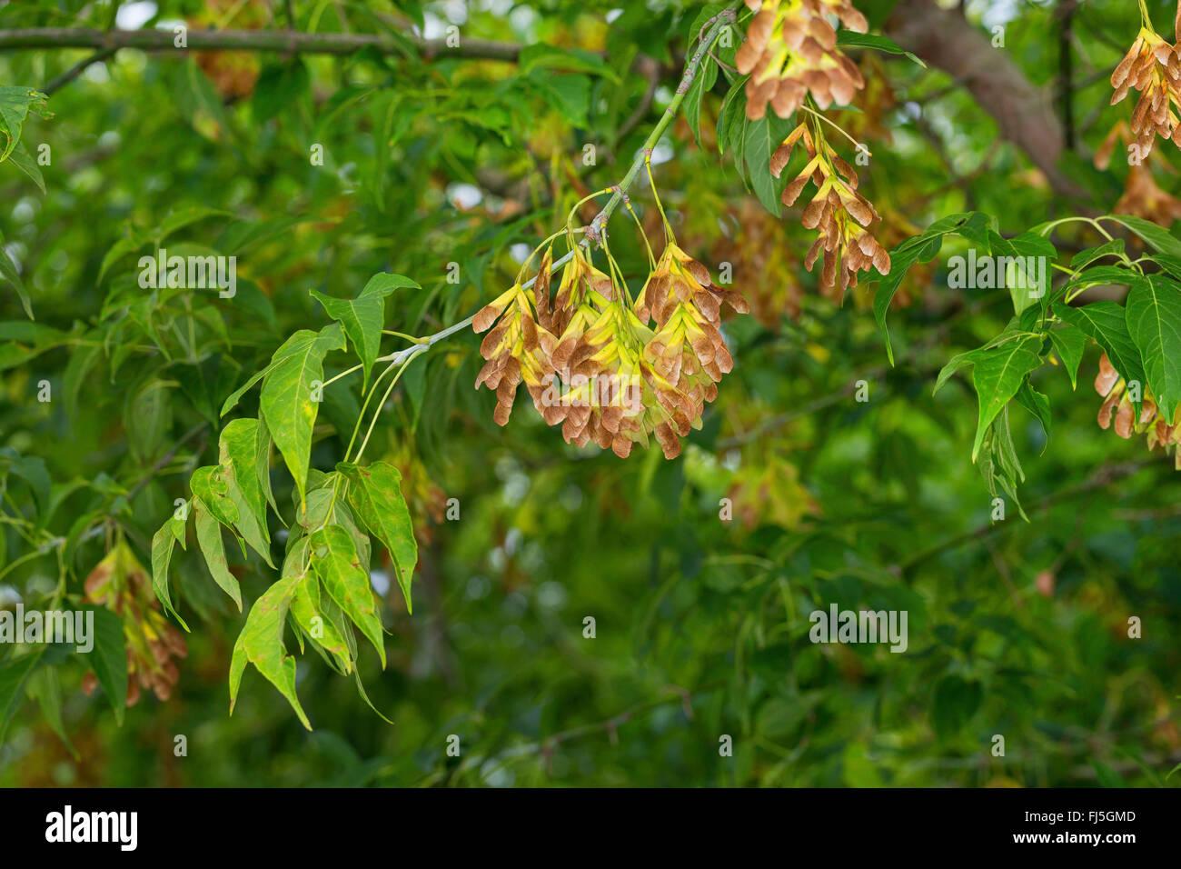 Ashleaf Maple Box Elder Acer Negundo Acer Fraxinifolium Negundo