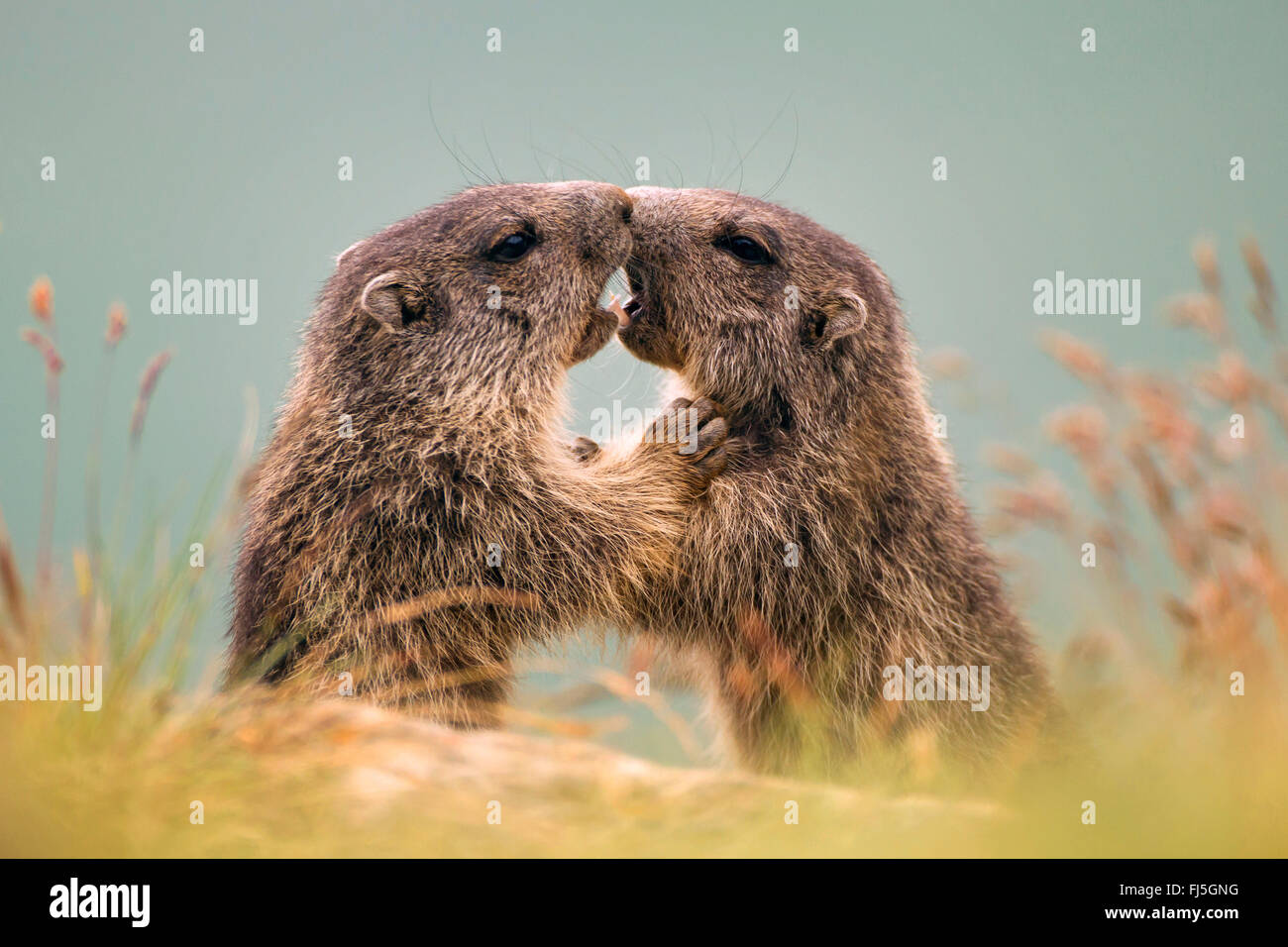 alpine marmot (Marmota marmota), two romping young animals, Austria, Kaernten, Hohe Tauern National Park, Grossglockner Stock Photo