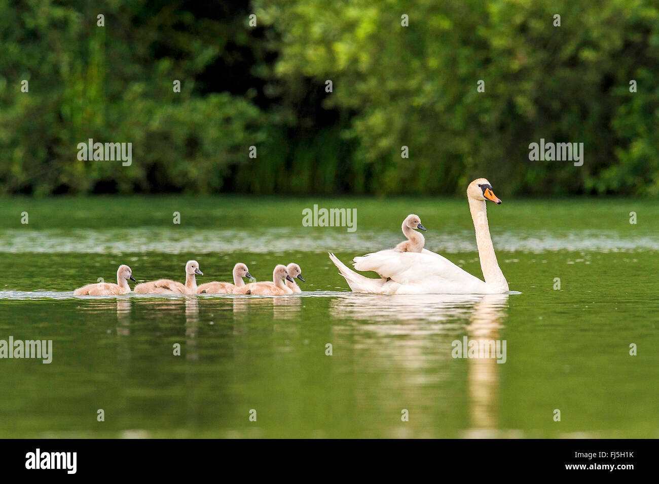 mute swan (Cygnus olor), with chick on its back, Austria, Burgenland - Stock Image