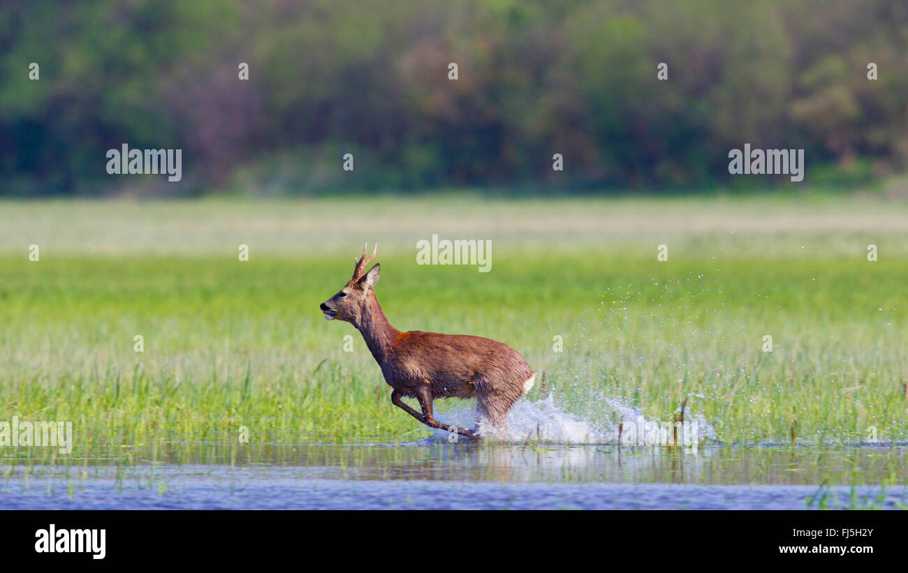 roe deer (Capreolus capreolus), roe buck runs in a floated meadow, Austria, Burgenland - Stock Image