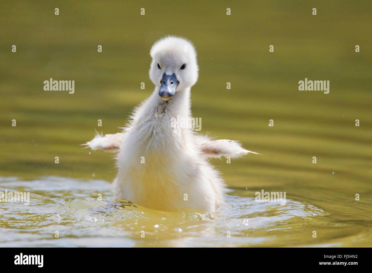mute swan (Cygnus olor), chick, Austria, Burgenland - Stock Image