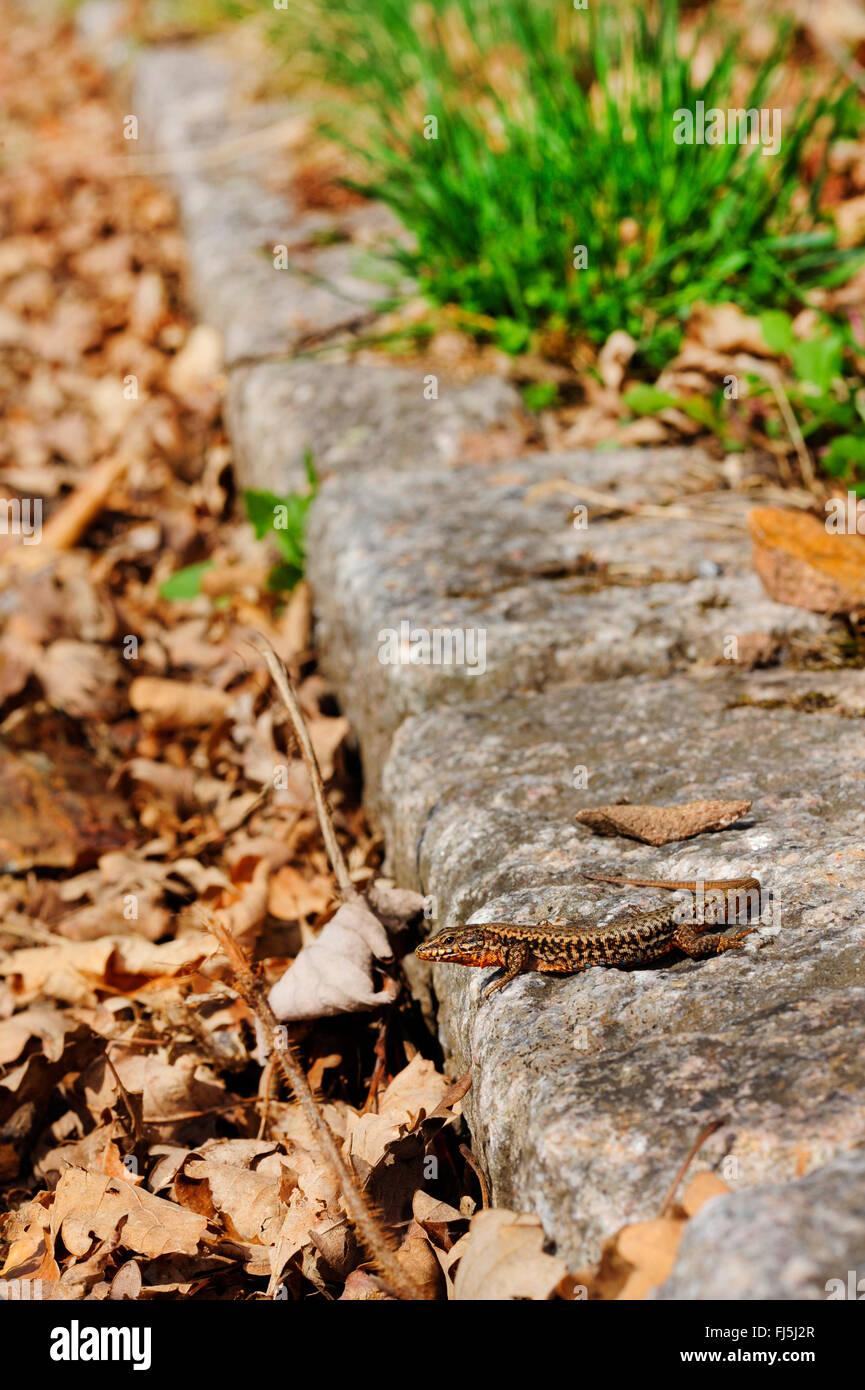 common wall lizard (Lacerta muralis, Podarcis muralis), male sunbathing at the roadside, Germany, Baden-Wuerttemberg, Stock Photo