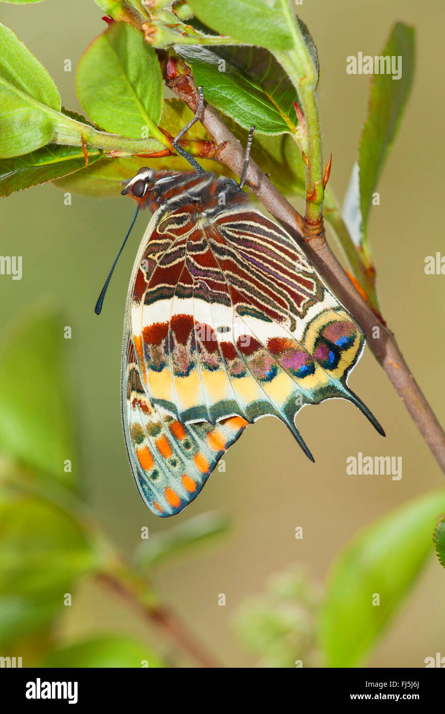 Two-tailed Pasha, Foxy Emperor (Charaxes jasius), just hatched Two-tailed Pasha - Stock Image