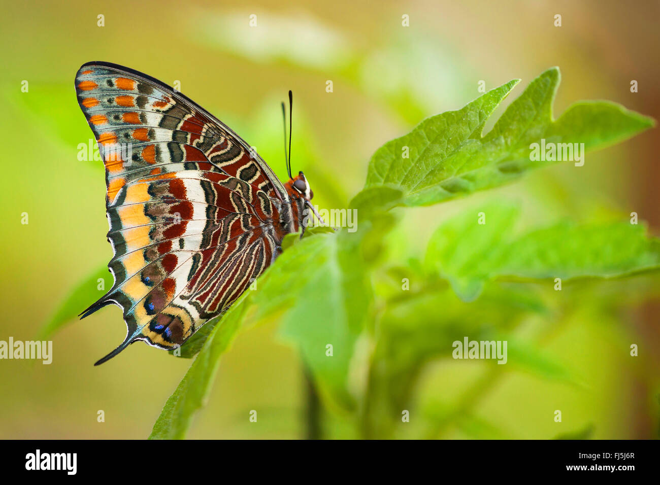 Two-tailed Pasha, Foxy Emperor (Charaxes jasius), sits on a leaf - Stock Image