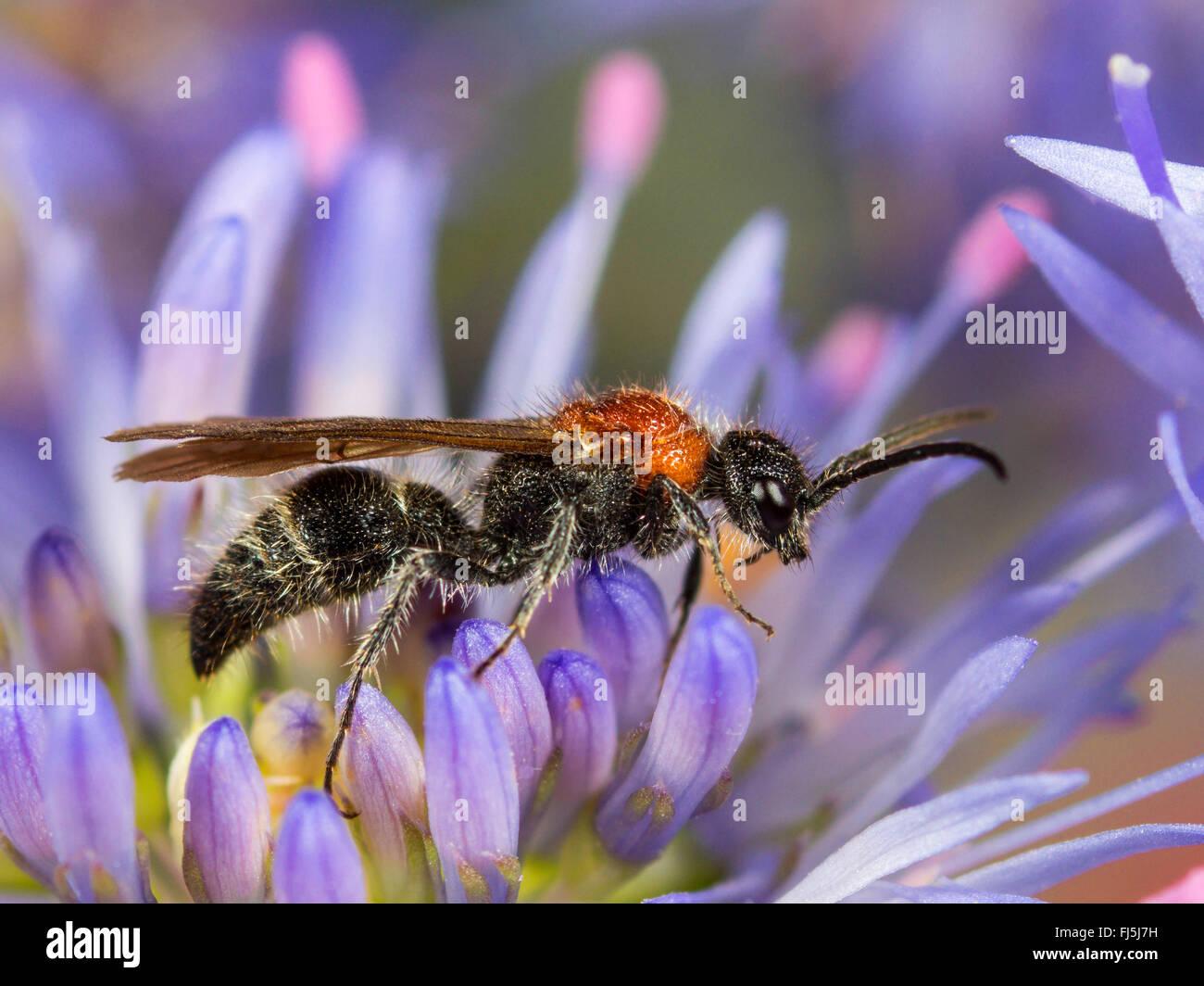 Bộ sưu tập Côn trùng - Page 49 Small-velvet-ant-smicromyrme-rufipes-mutilla-rufipes-male-on-sheeps-FJ5J7H