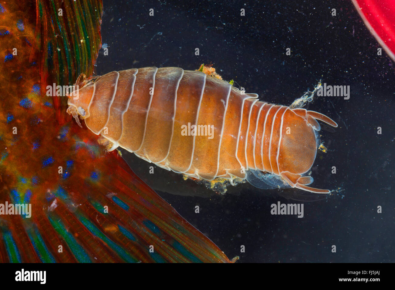 fish-flea, fish louse, parasitic fish isopod (Anilocra spec.), parasitizing on a wrasse - Stock Image