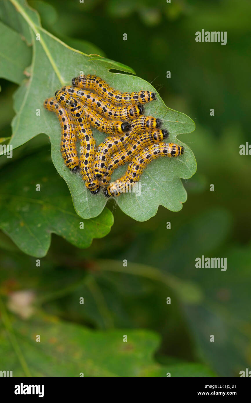 Buff-tip moth, Buff tip caterpillar (Phalera bucephala), caterpillars on an oak leaf, Germany - Stock Image