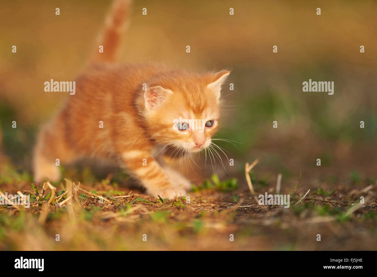 domestic cat, house cat (Felis silvestris f. catus), five weeks old kitten walking in a meadow, Germany - Stock Image