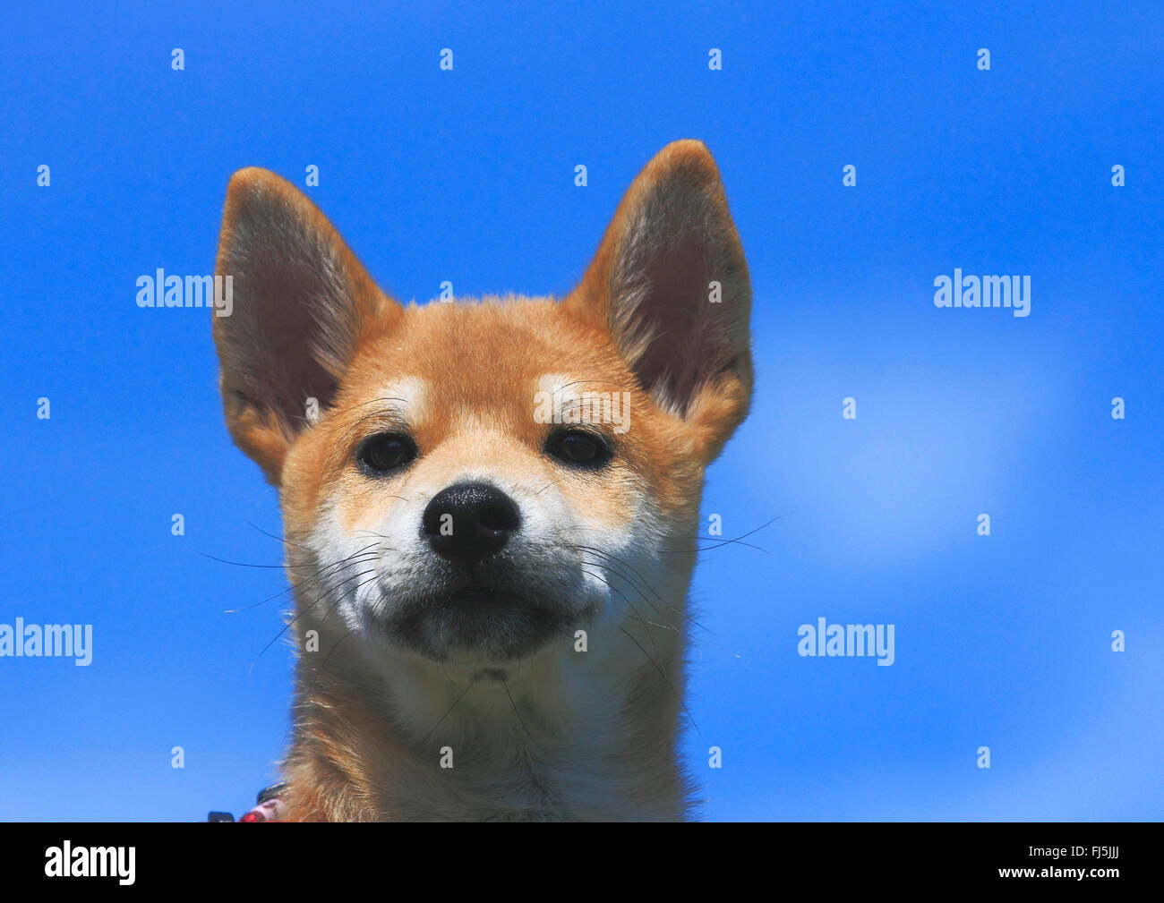 Shiba Inu (Canis lupus f. familiaris), whelp, portrait in front of blue sky, Germany - Stock Image